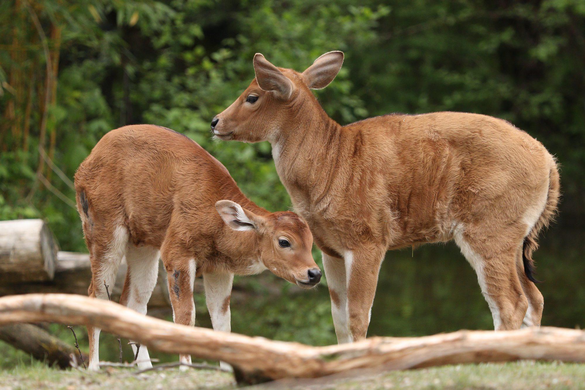 Java Banteng-Kälber im Tierpark Hellabrunn