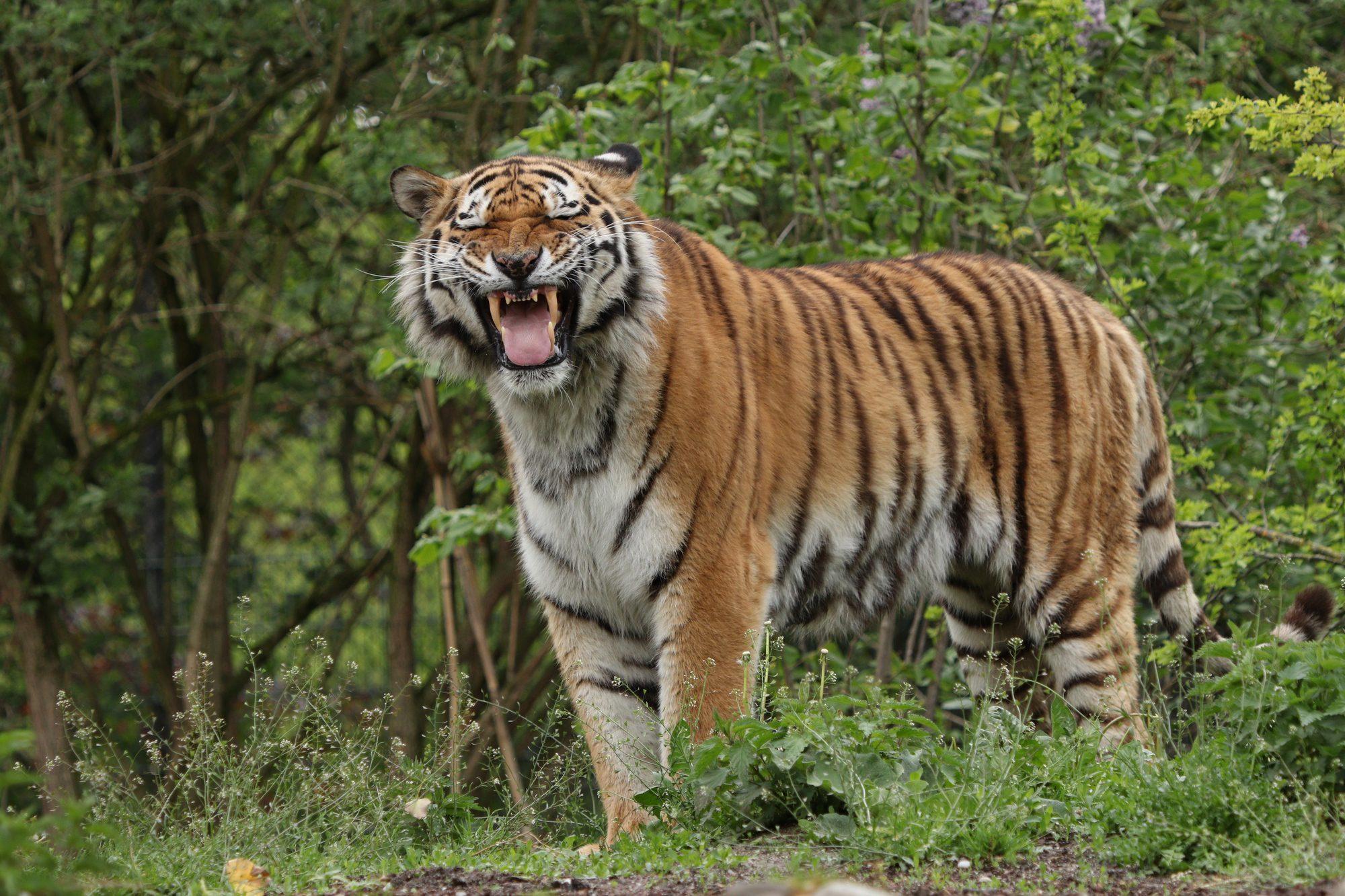Sibirischer Tiger Jegor flehmend im Tierpark Hellabrunn