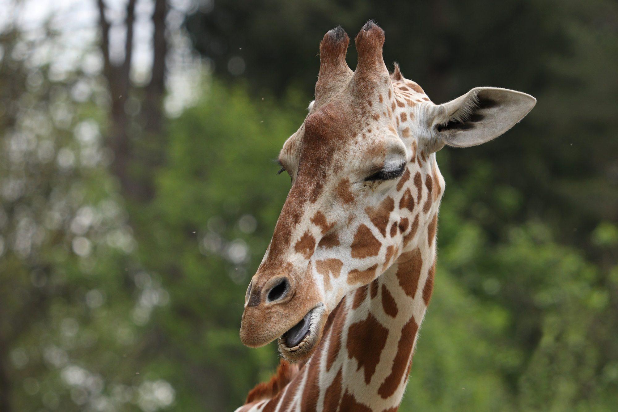 Netzgiraffe Taziyah im Tierpark Hellabrunn