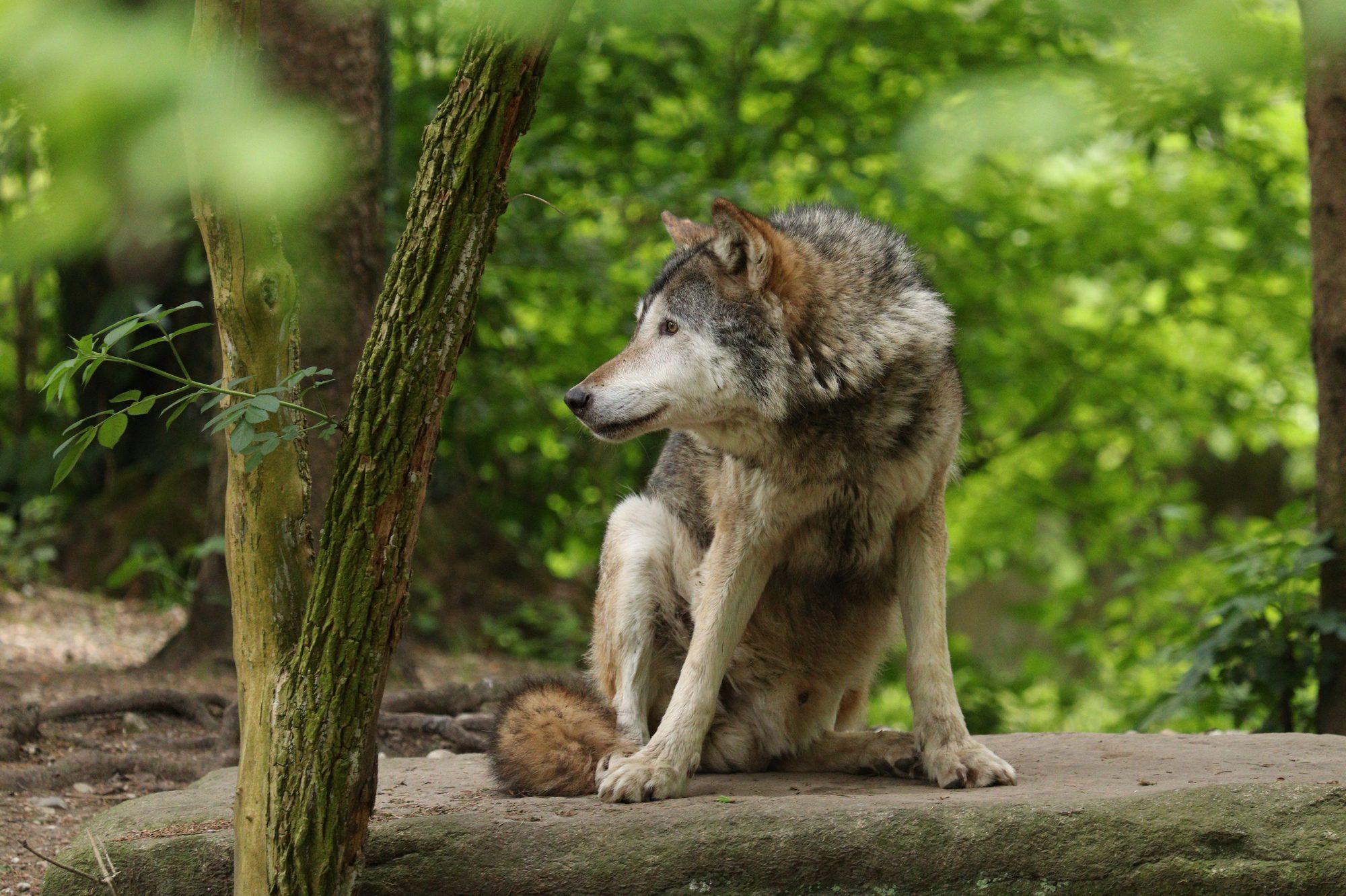 Europäischer Wolf Aslan im Tierpark Hellabrunn
