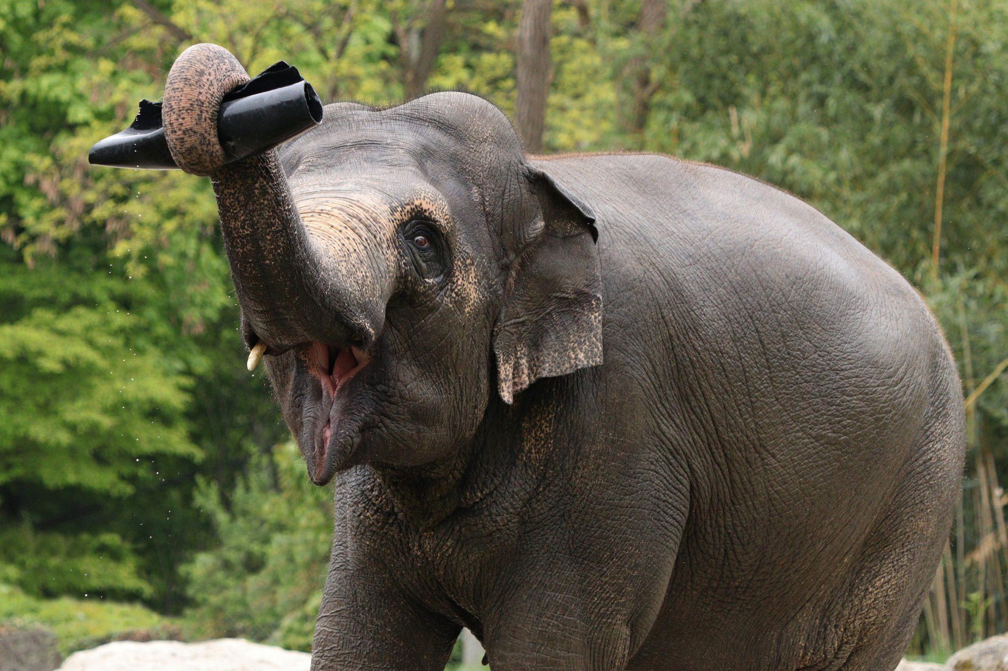 Asiatische Elefantenkuh Temi im Tierpark Hellabrunn