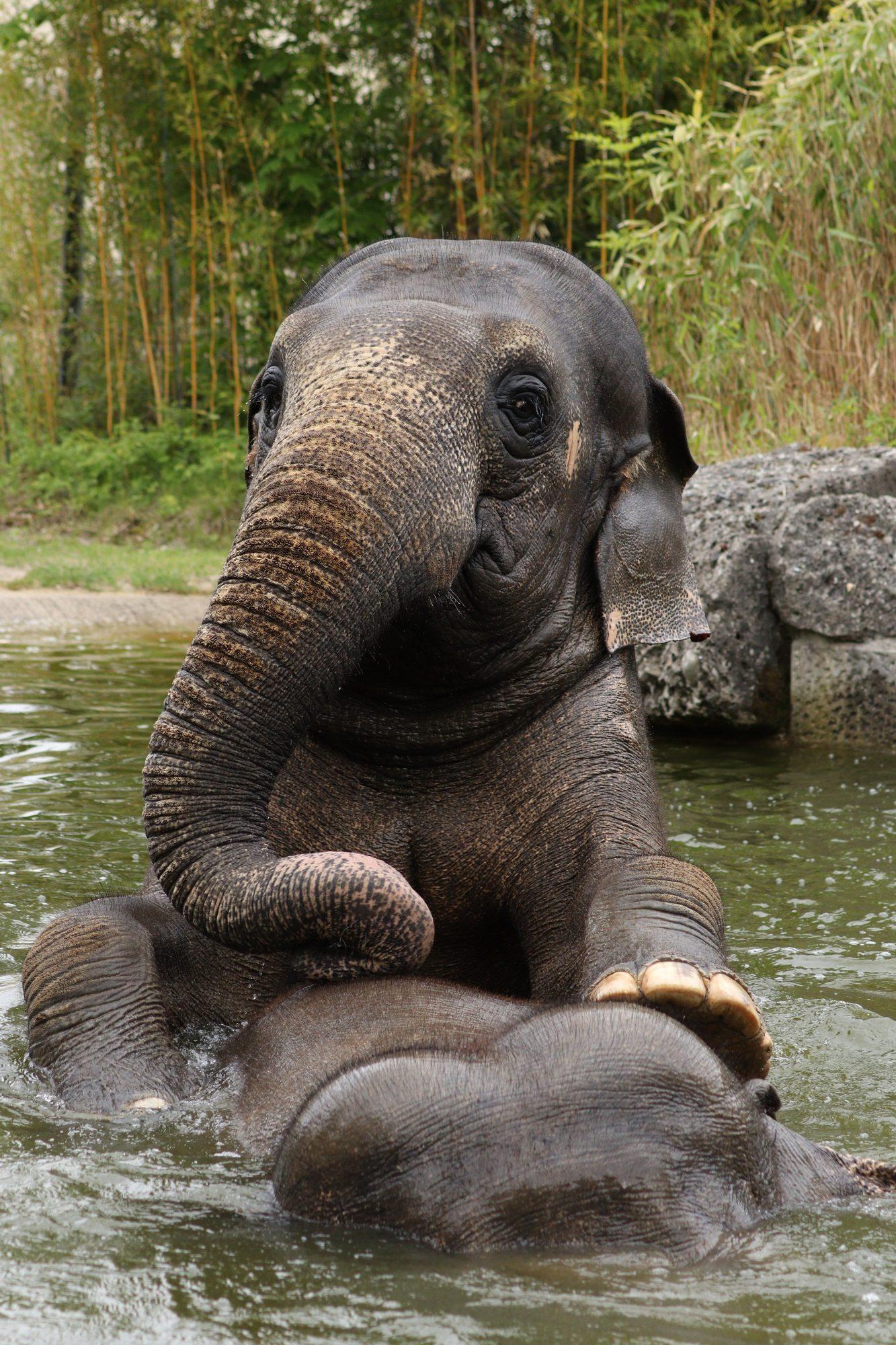Asiatische Elefantenkühe Mangala und Temi beim Baden im Tierpark Hellabrunn