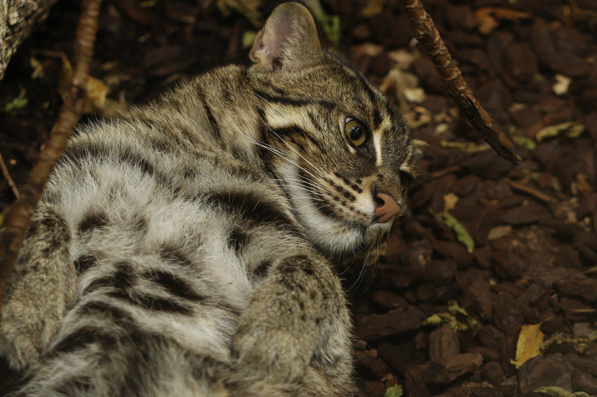 Fischkatze im Tierpark Hellabrunn