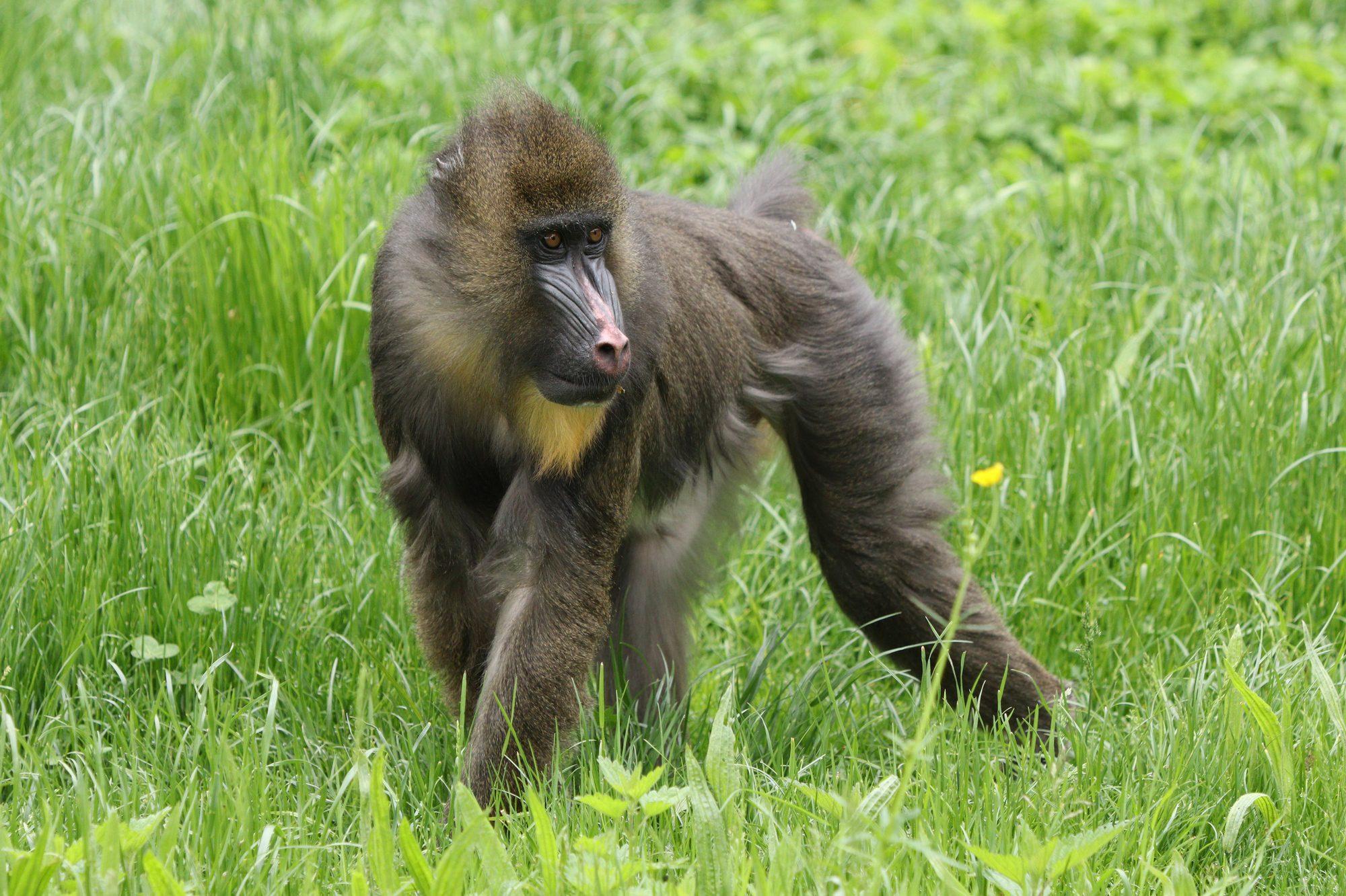 Mandrill im Zoo Augsburg