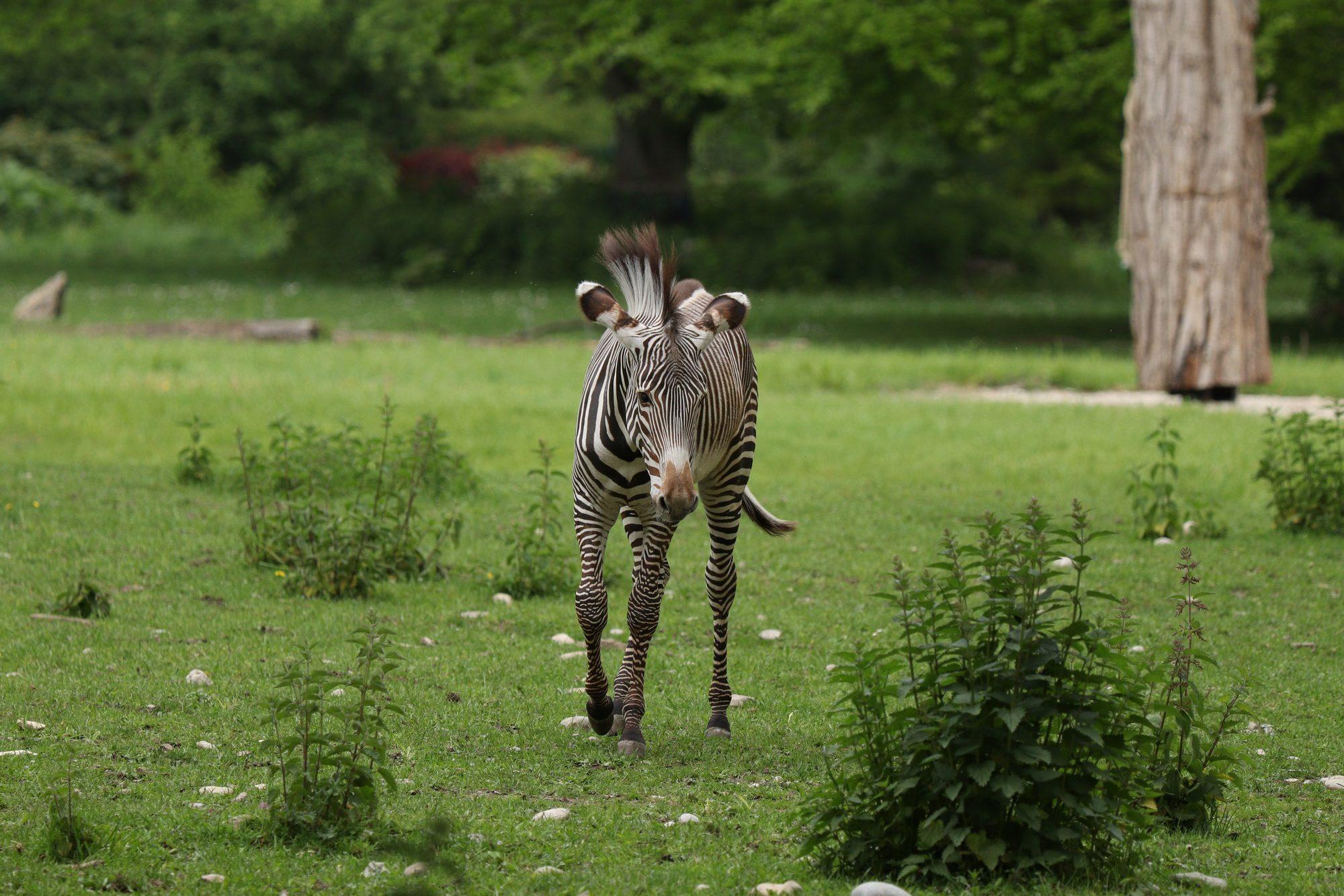 Grevyzebra im Zoo Augsburg