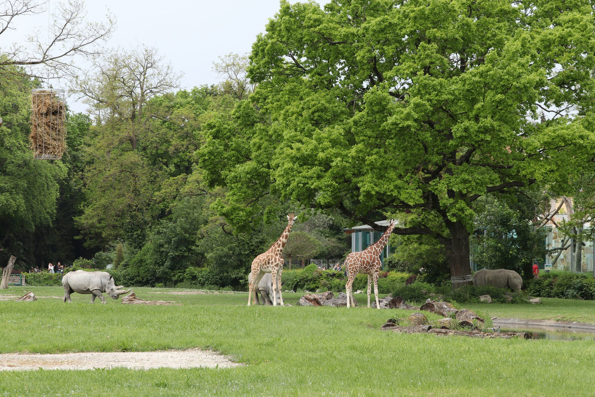 Afrikapanorama mit Giraffen und Breitmaulnashörnern im Zoo Augsburg