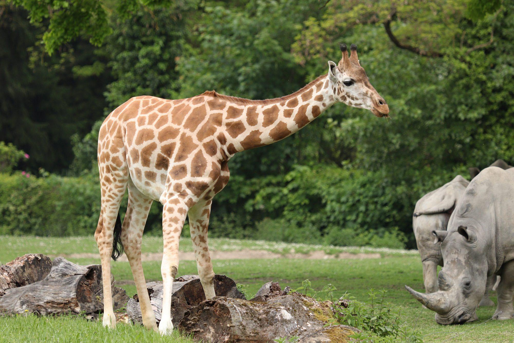 Giraffe und Breitmaulnashörner im Zoo Augsburg