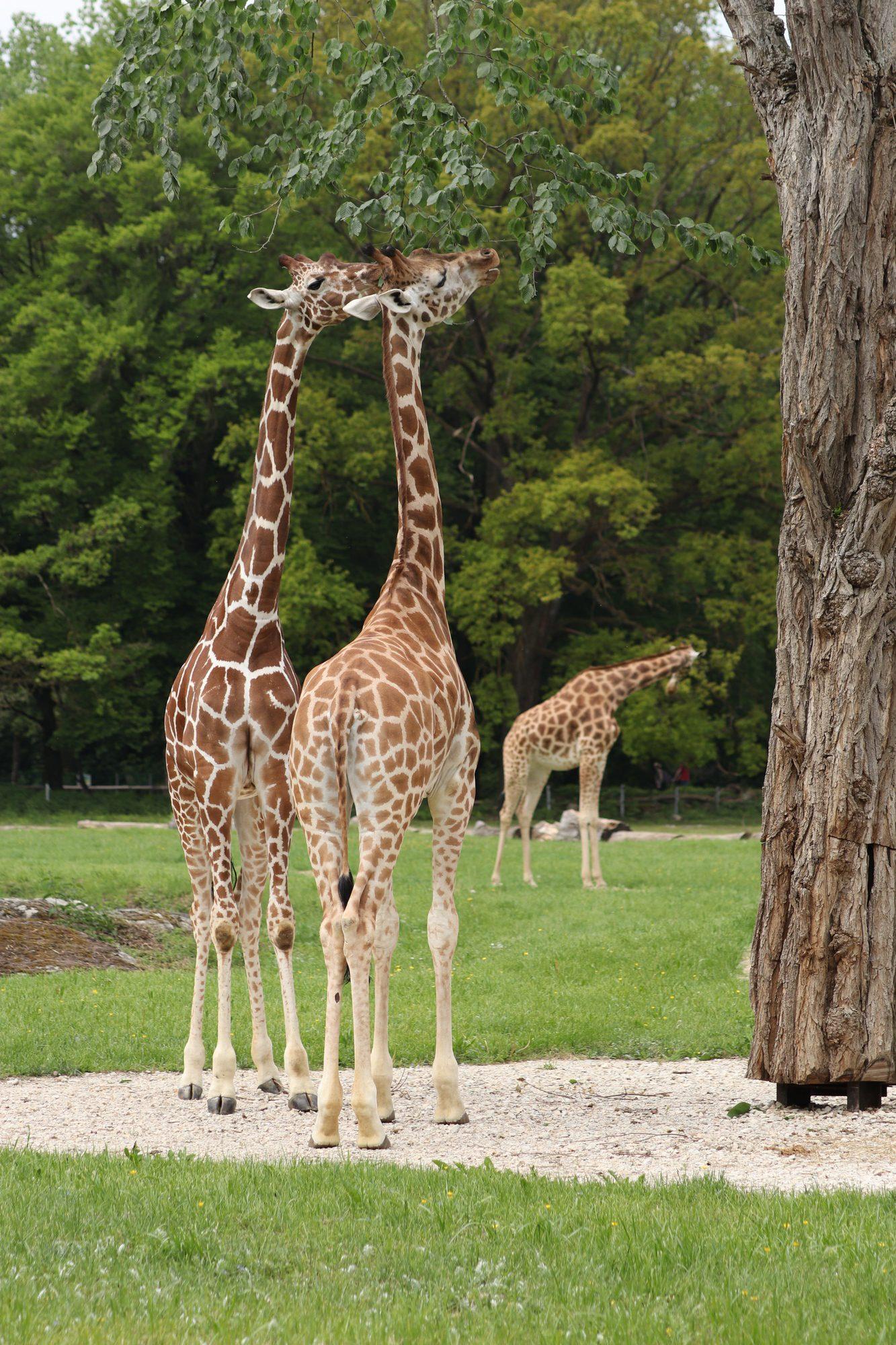 Netz-, Kordofan- und Rothschildgiraffen im Zoo Augsburg