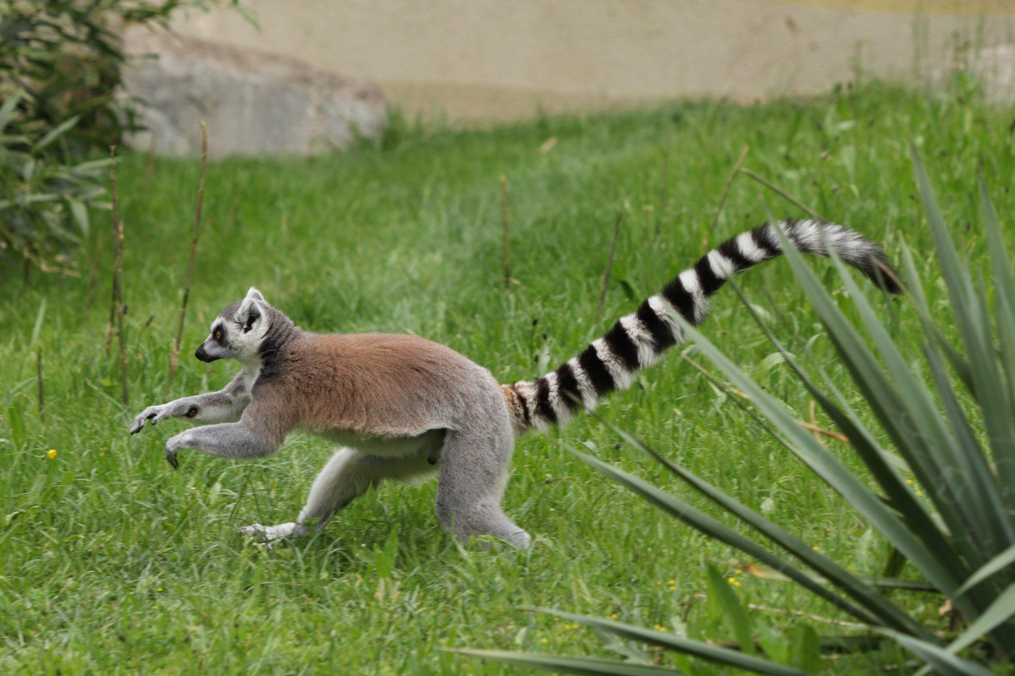 Katta im Zoo Augsburg