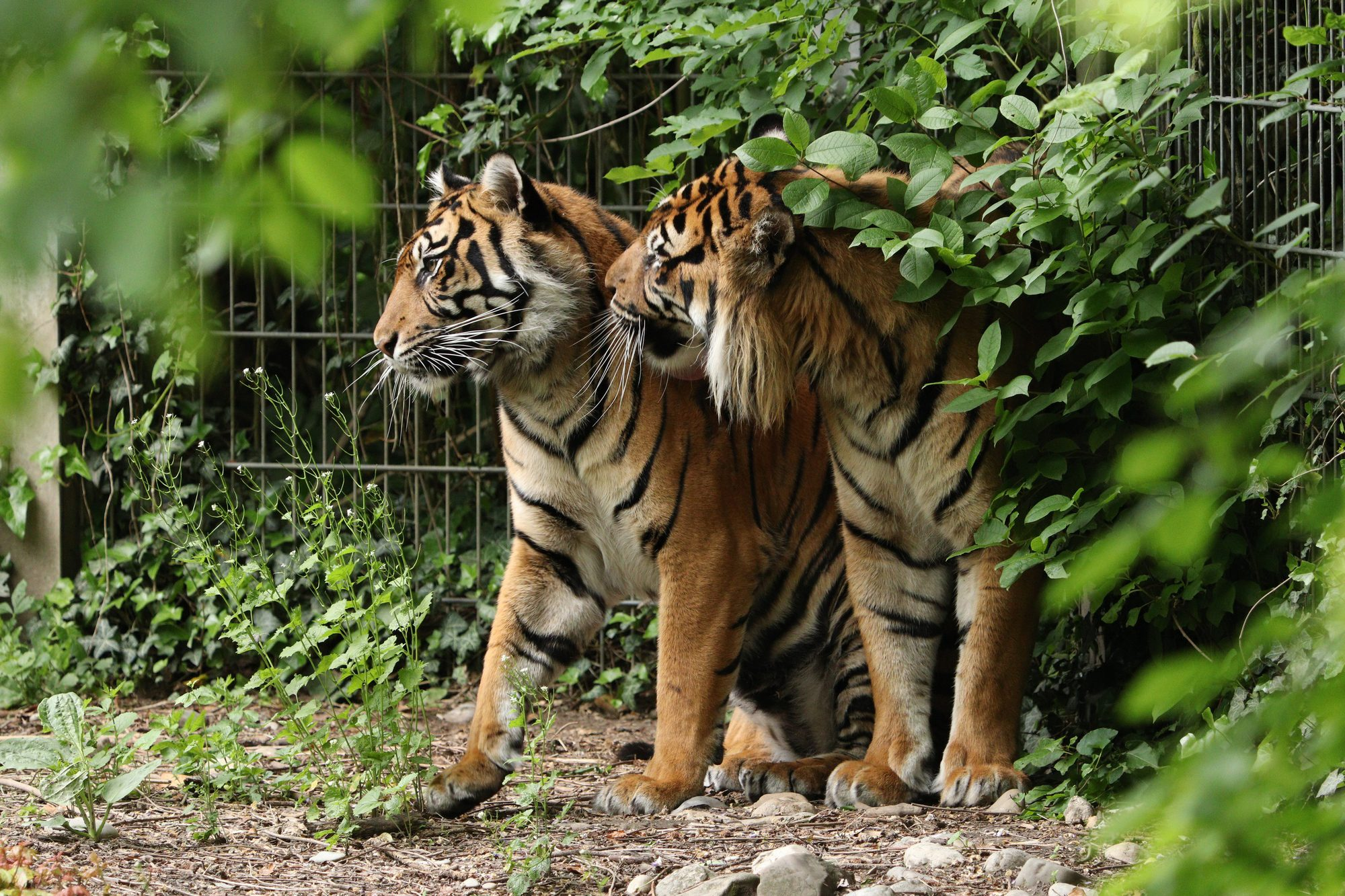Sumatra-Tiger Berani und Dhjala im Zoo Augsburg