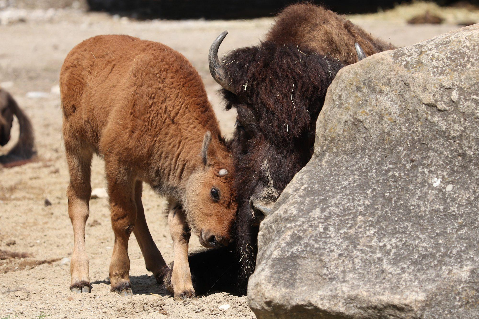 Waldbison mit Kalb im Tierpark Hellabrunn