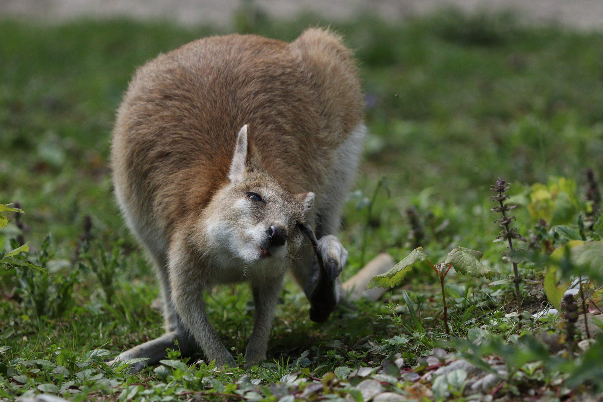 Flinkwallaby im Tierpark Hellabrunn