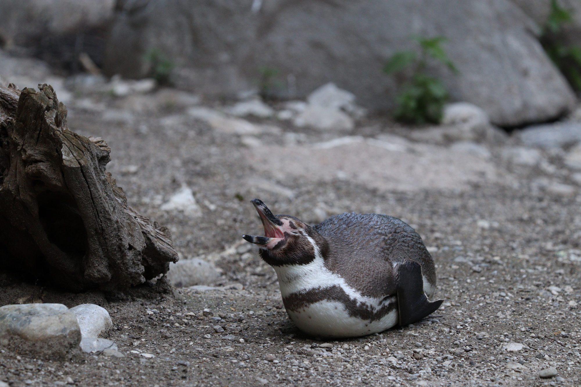 Humboltpinguin im Tierpark Hellabrunn