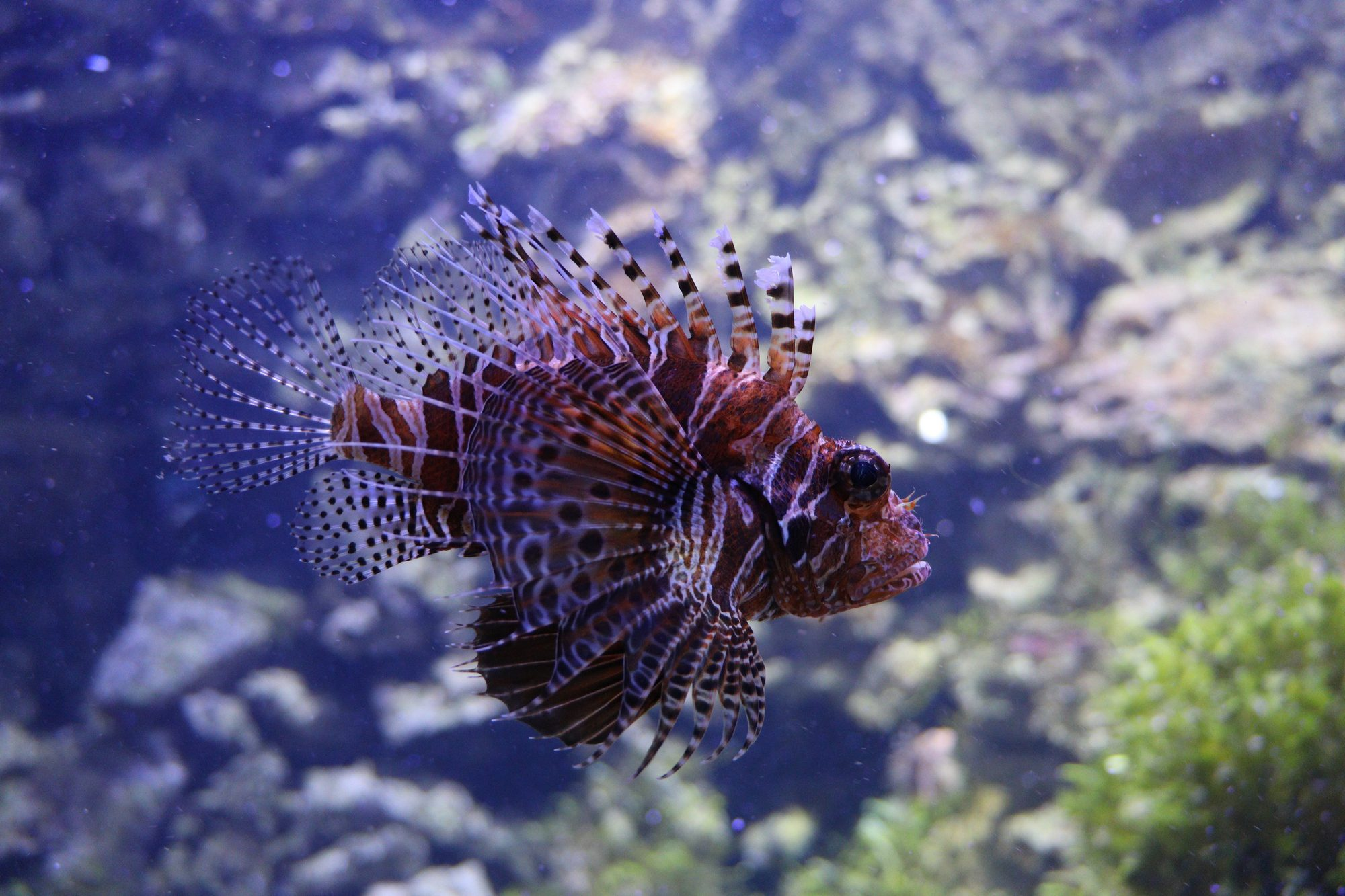 Rotfeuerfisch im Tierpark Hellabrunn