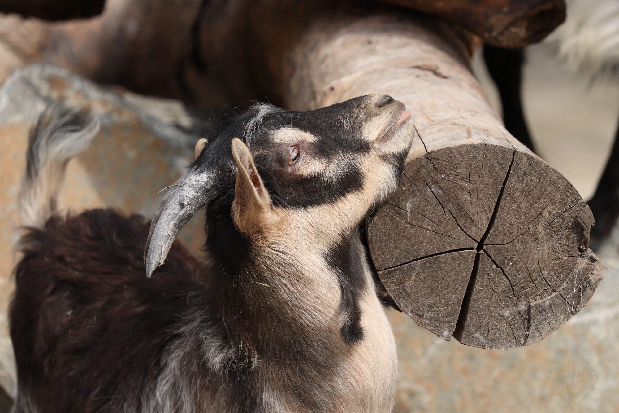 Bulgarenziege im neuen Mühlendorf im Tierpark Hellabrunn