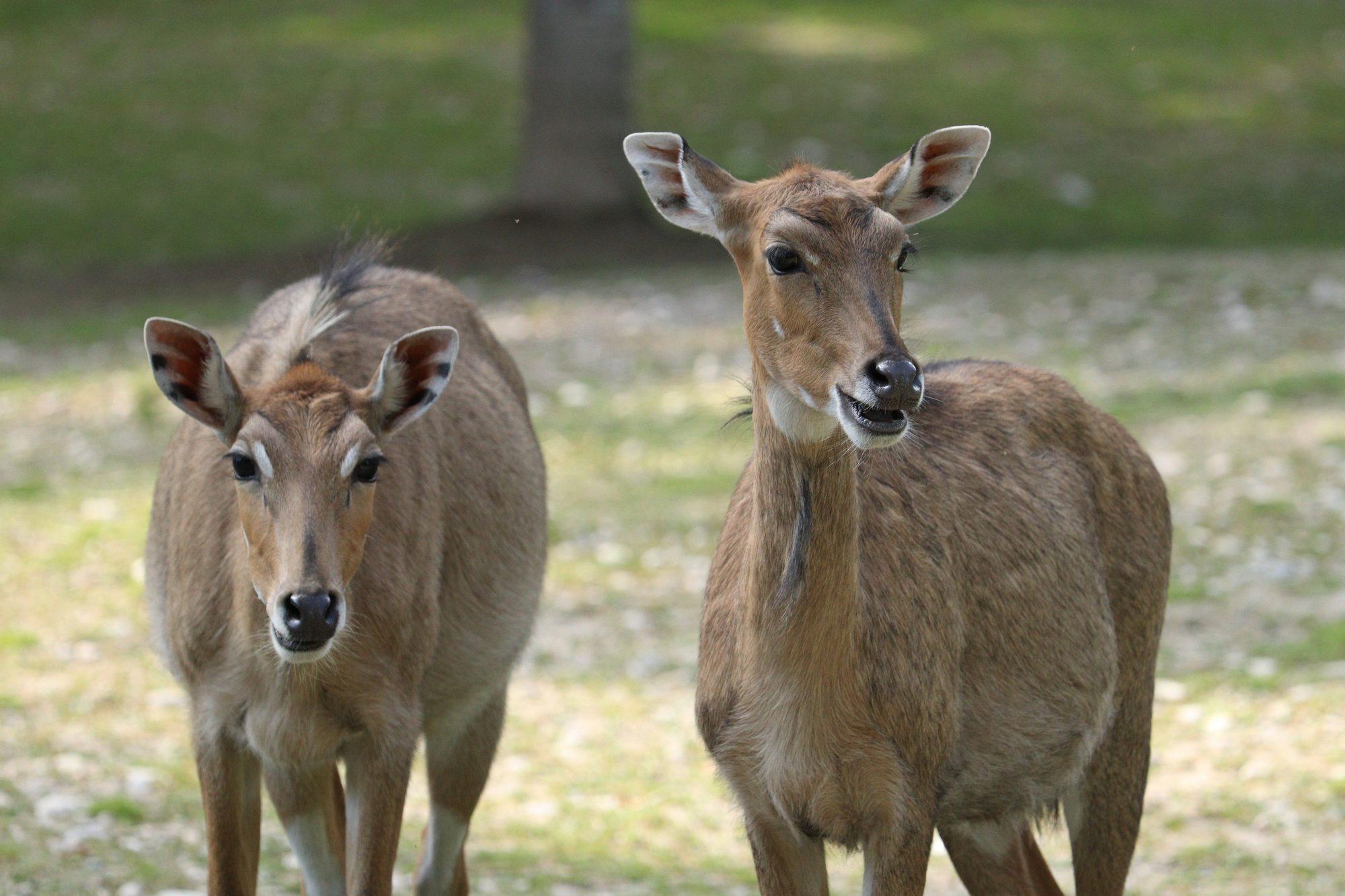 Nilgauantilopen im Tierpark Hellabrunn