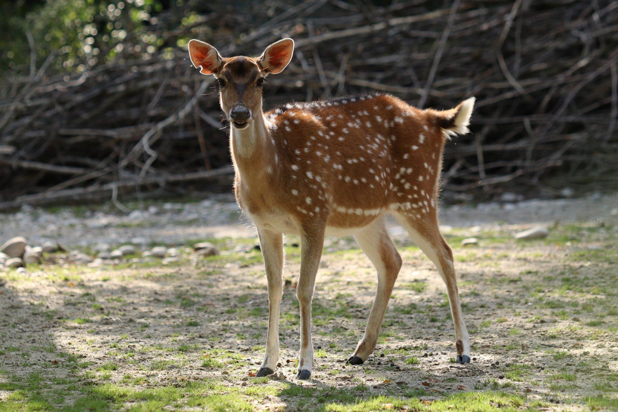 Axishirsch im Tierpark Hellabrunn