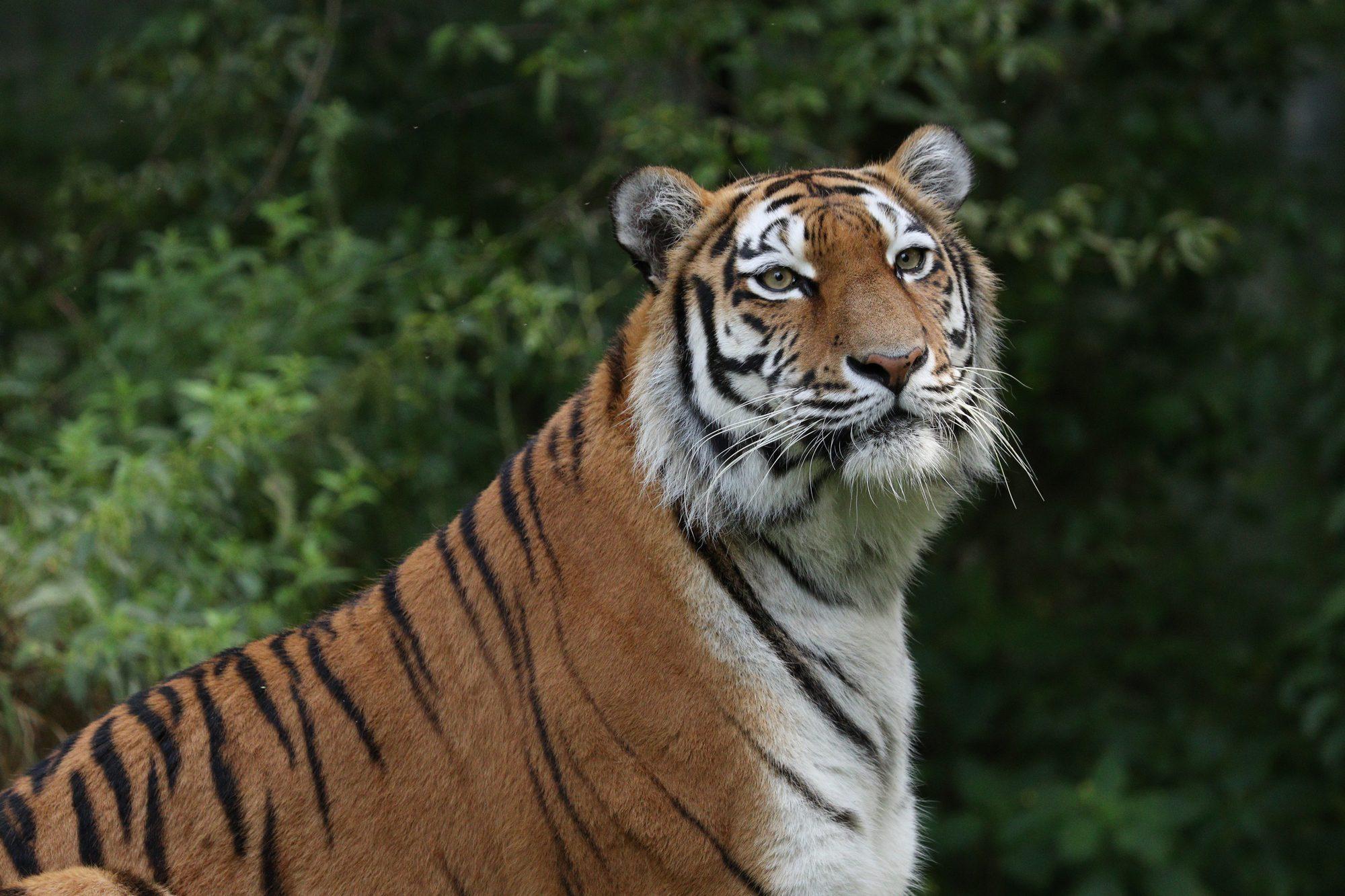 Sibirische Tigerin Ahimsa Portrait Tierpark Hellabrunn