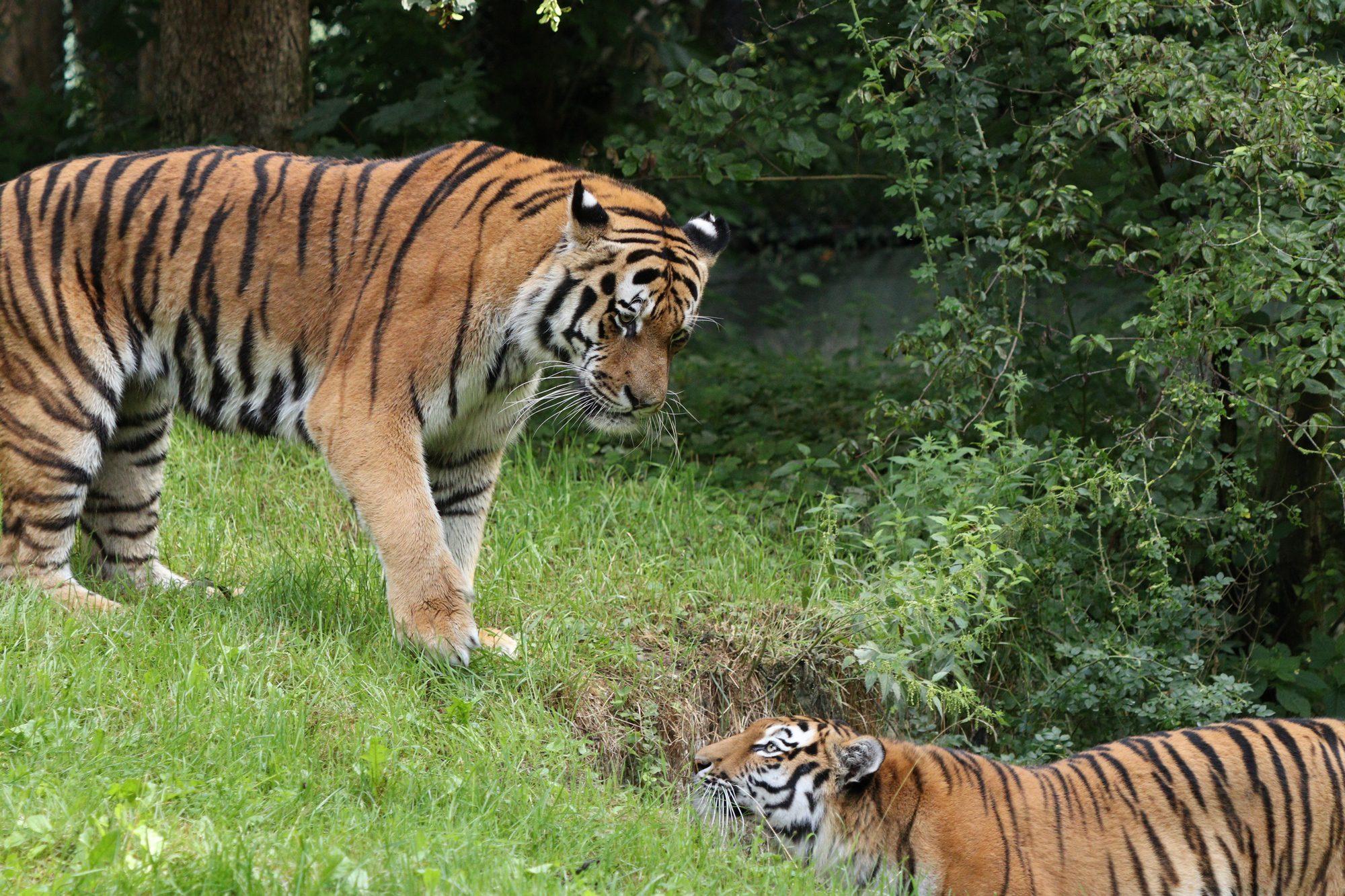 Sibirische Tiger Jegor und Ahimsa Tierpark Hellabrunn