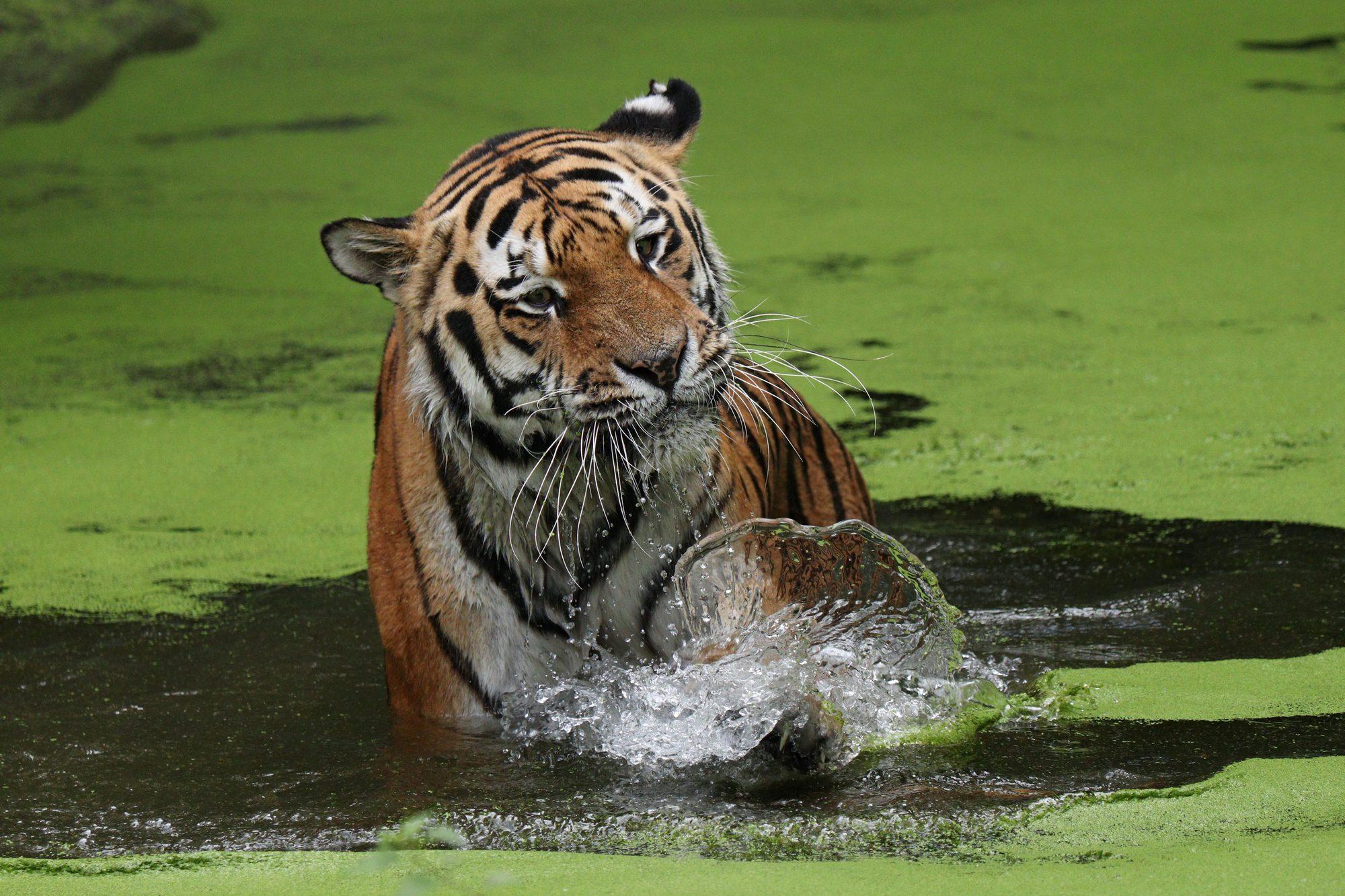 Sibirischer Tiger Jegor im Wasser Tierpark Hellabrunn
