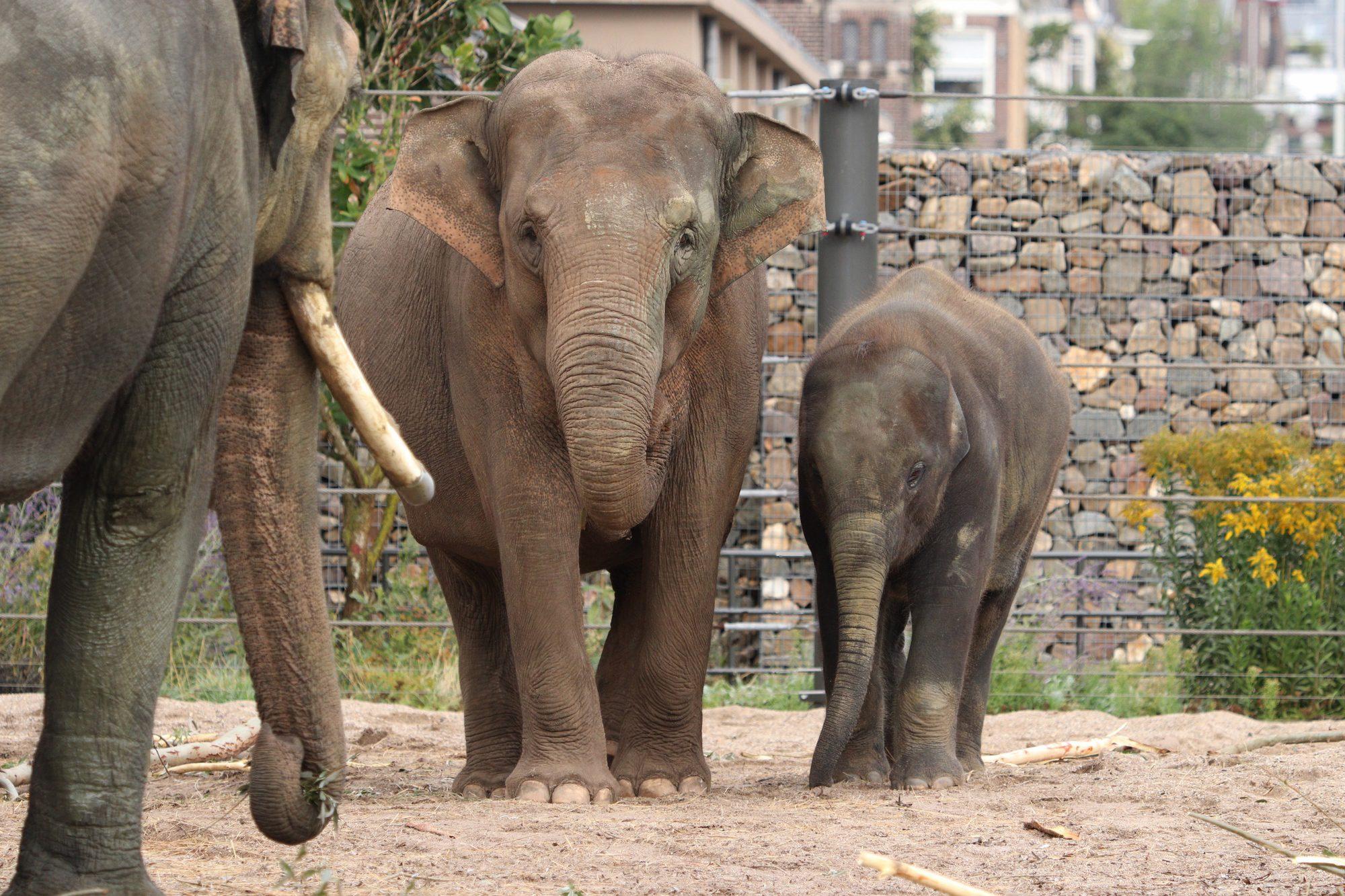 Asiatische Elefanten Artis Amsterdam