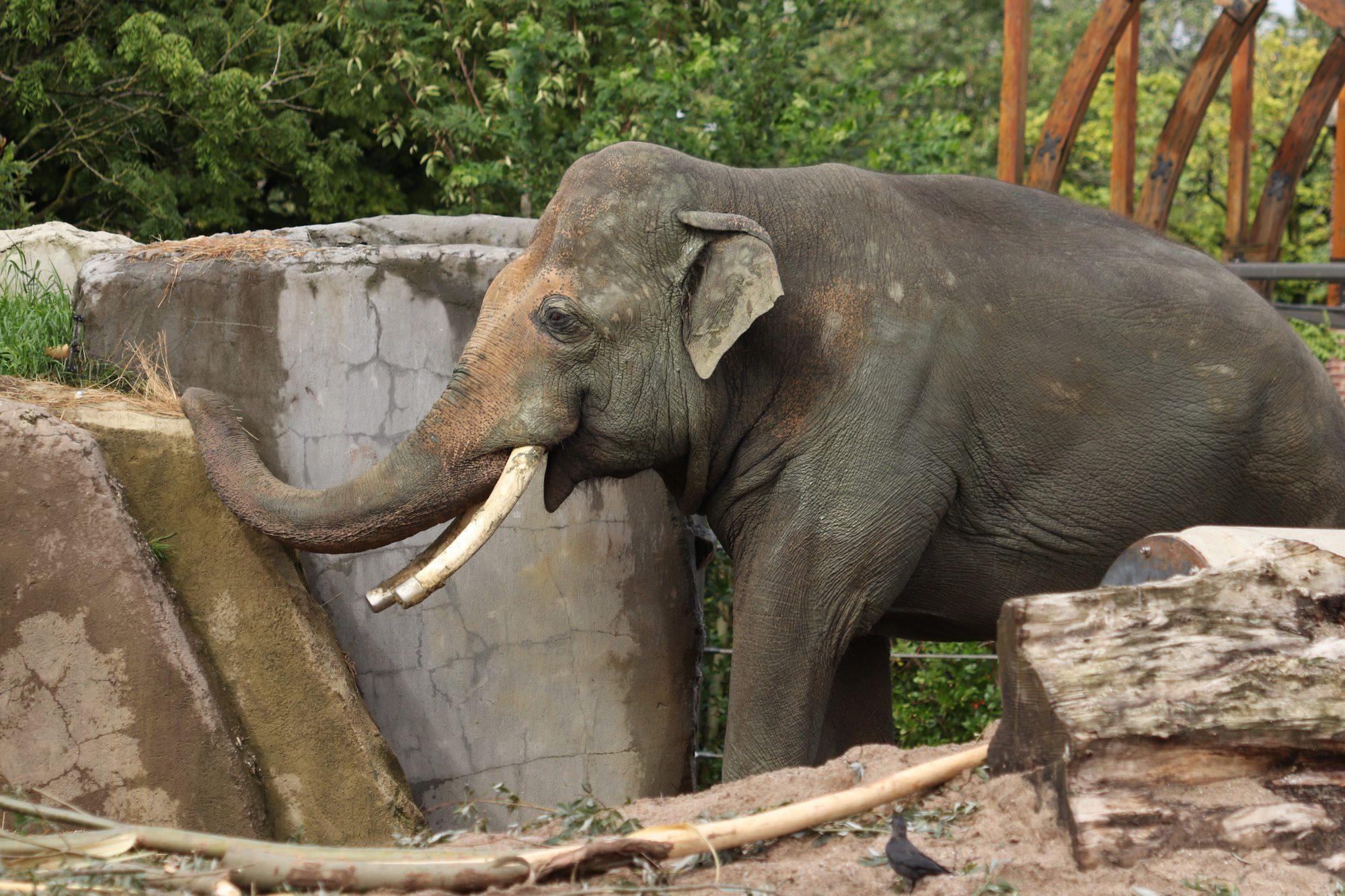 Asiatischer Elefantenbulle Nikolai Artis Amsterdam