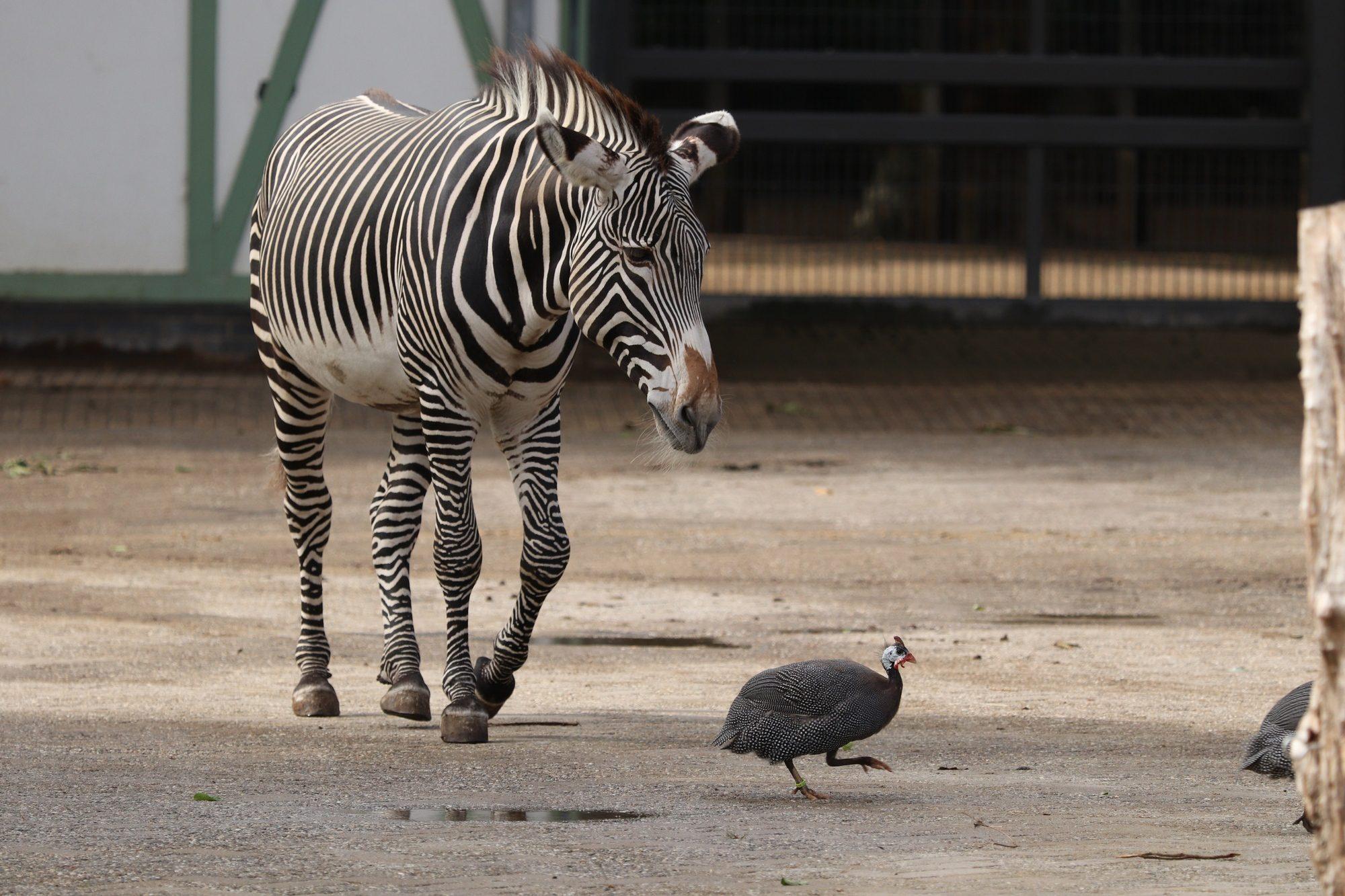 Grevyzebra und Helmperlhuhn auf der Savanne Artis Amsterdam
