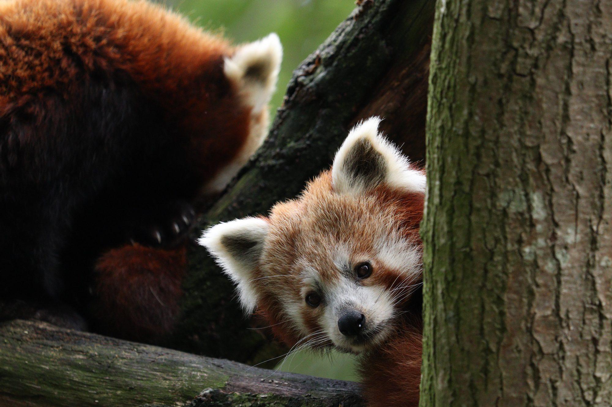Rote Pandas Artis Amsterdam