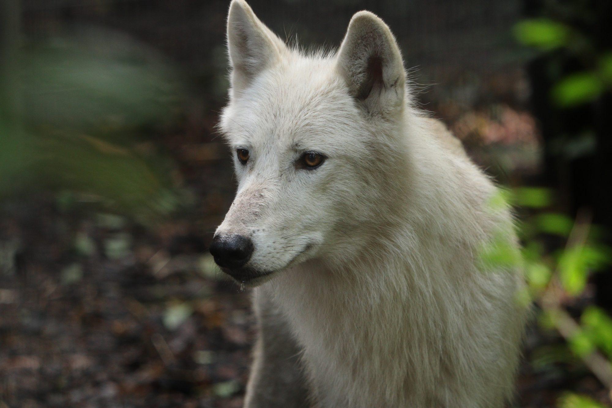 Polarwolf Artis Amsterdam