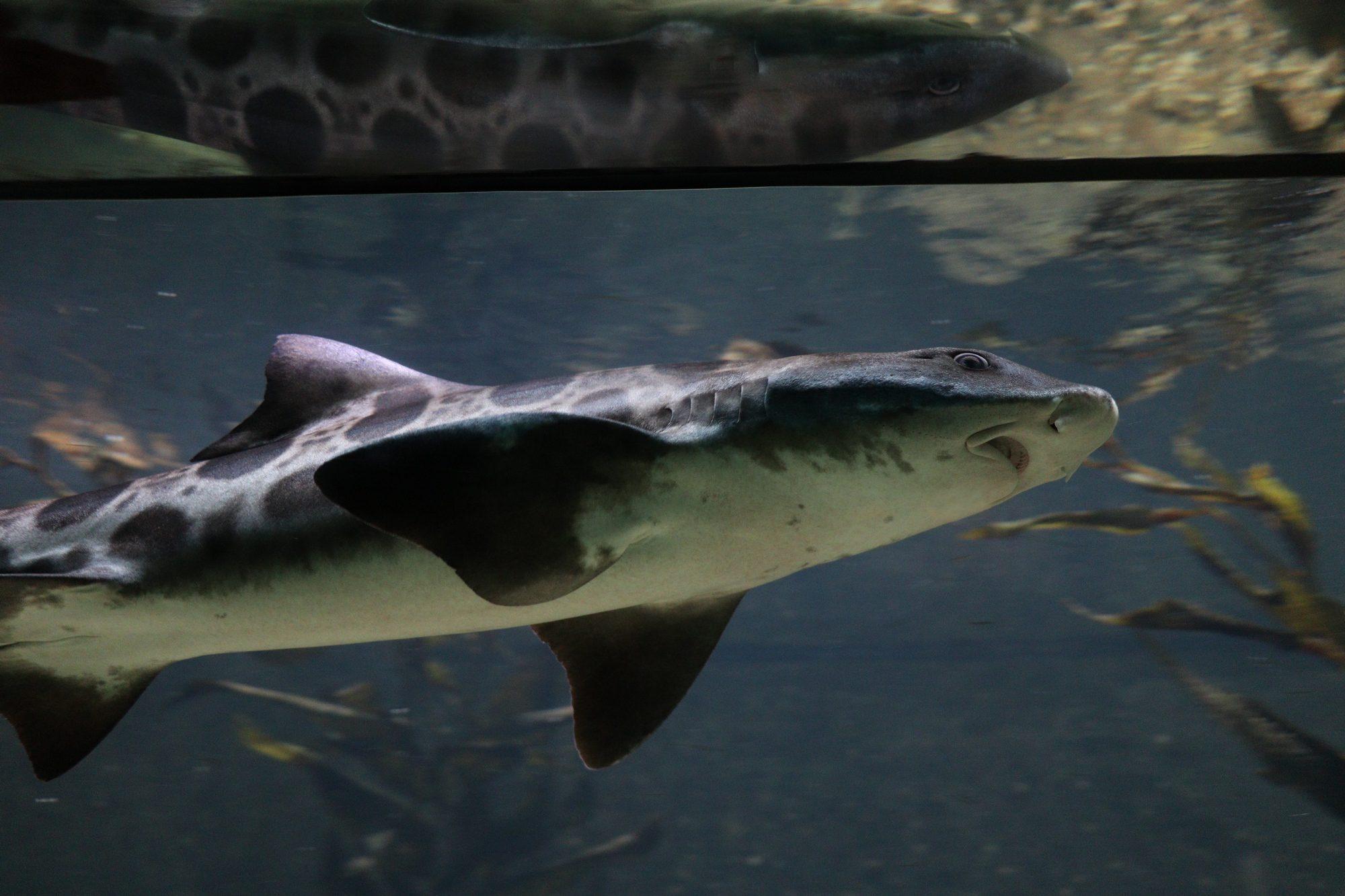 Leopardenhai Artis Amsterdam