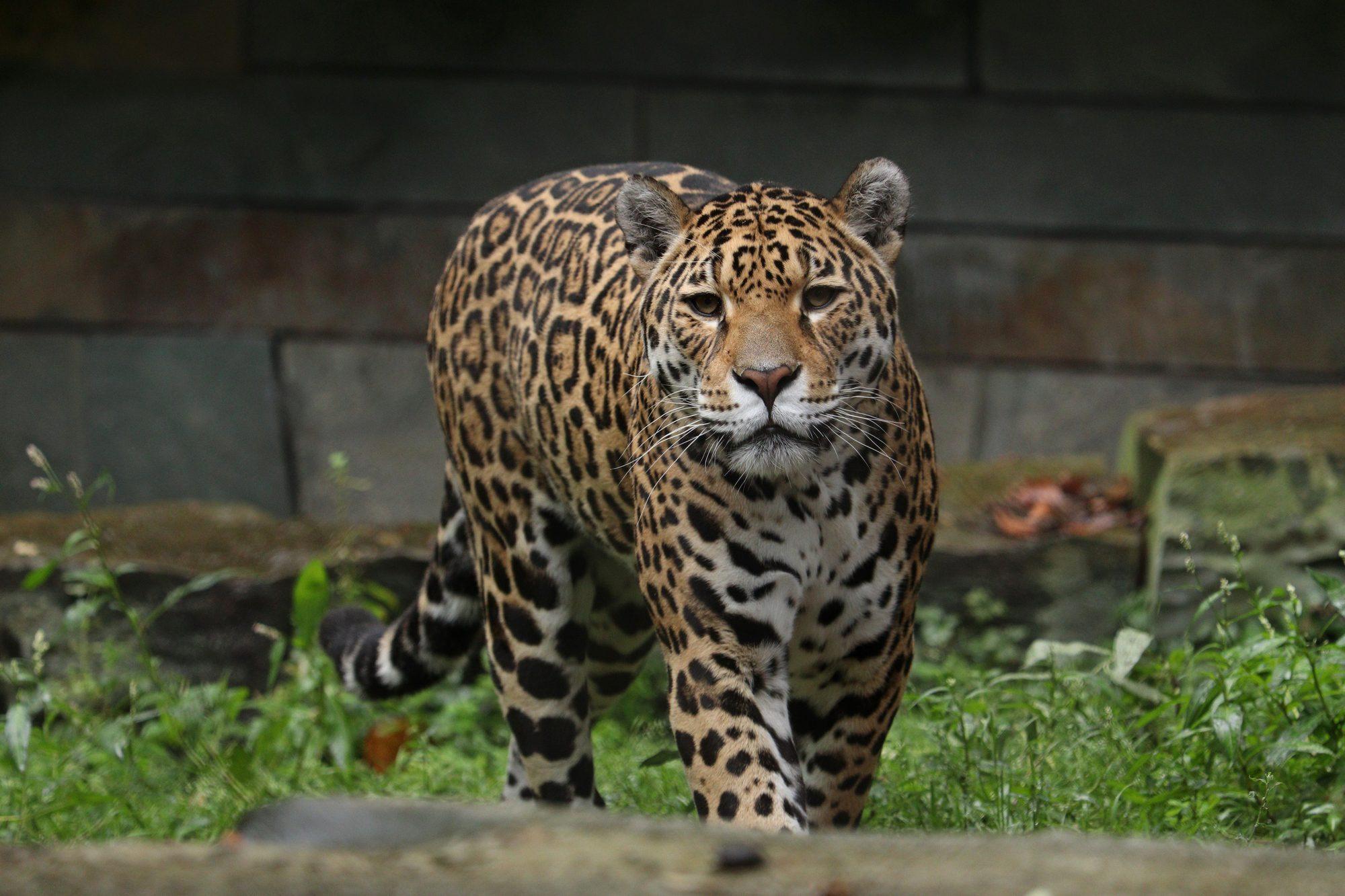 Jaguar Rica Artis Amsterdam