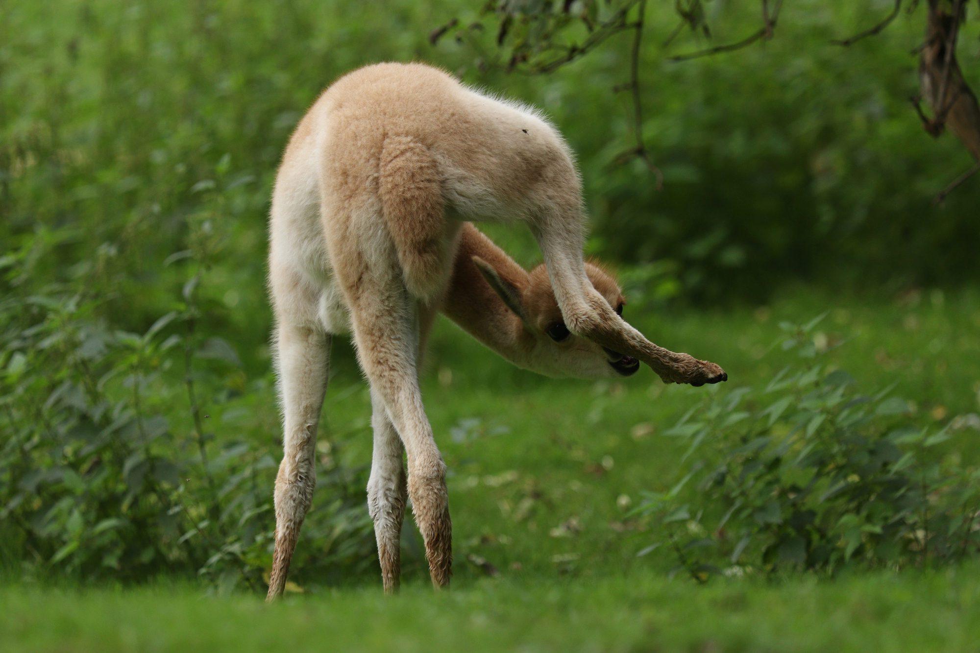 Vikunjanachwuchs im Tierpark Hellabrunn