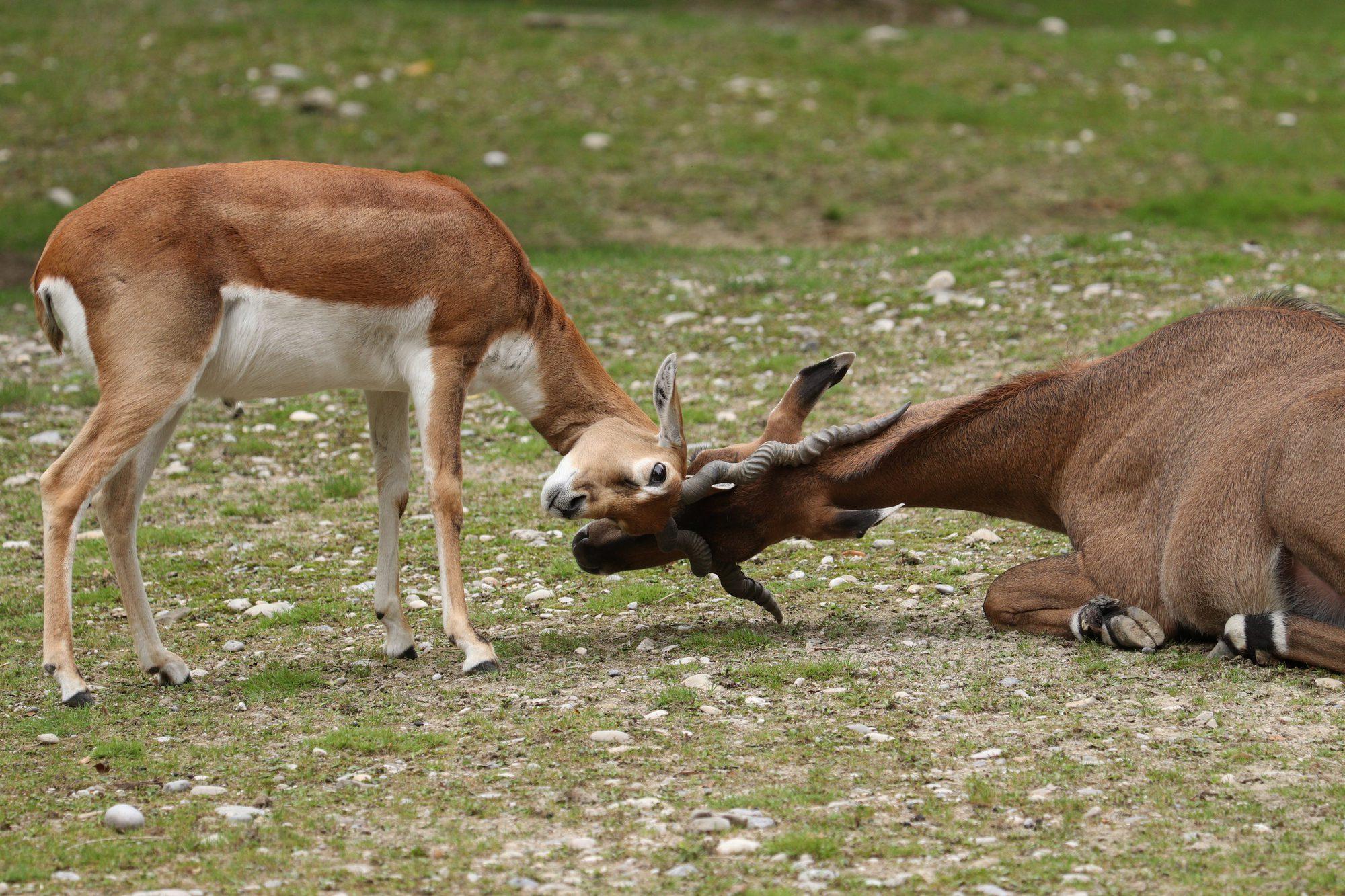 Hirschziegenantilopenbock im Spiel mit einer Nilgauantilope im Tierpark Hellabrunn