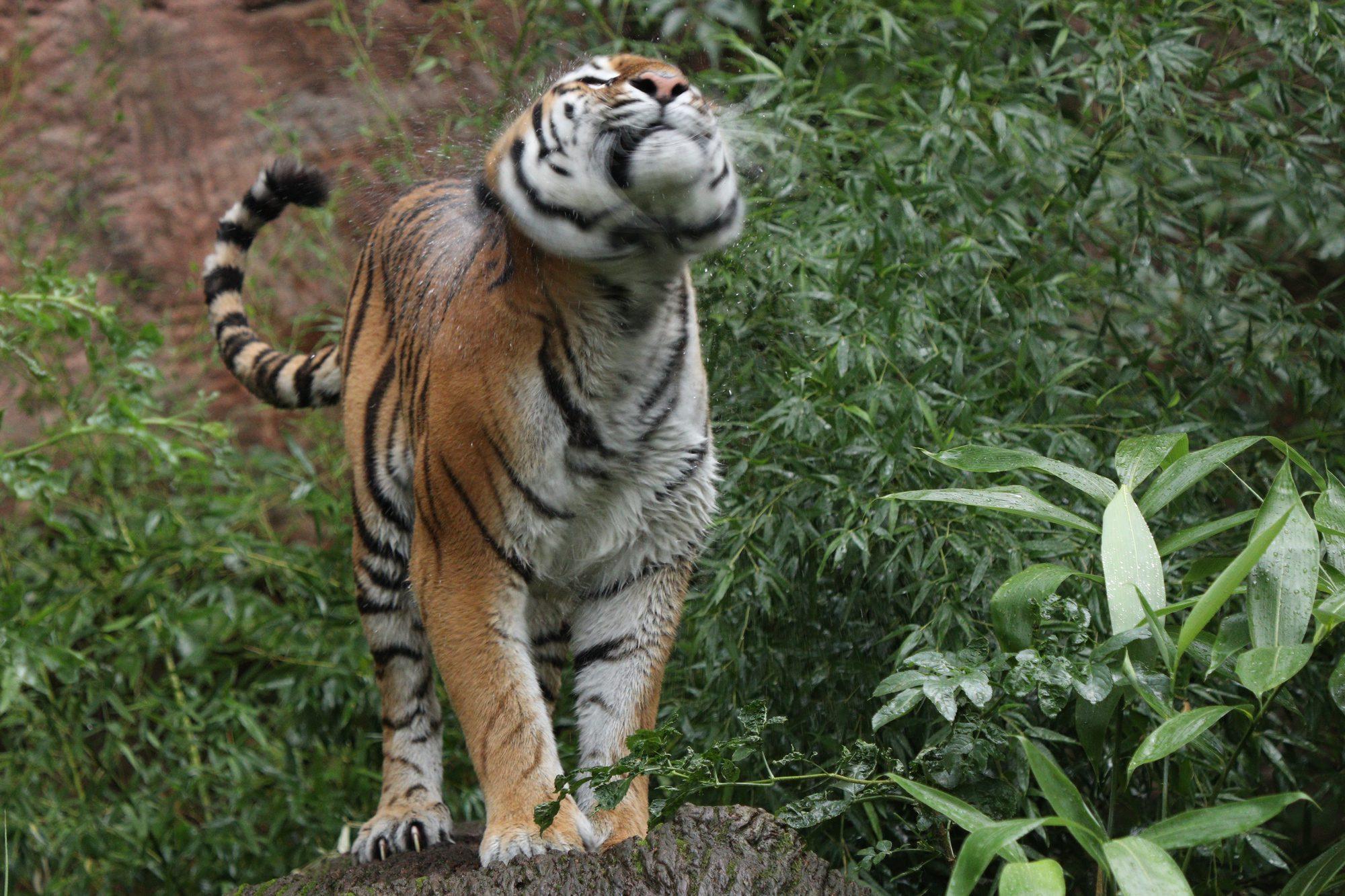 Sibirische Tigerin Katinka im Tiergarten Nürnberg