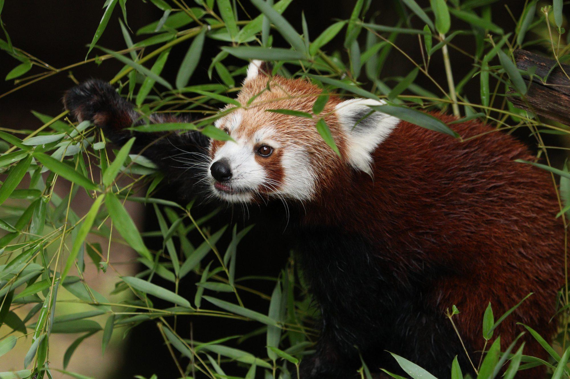Roter Panda im Tiergarten Nürnberg