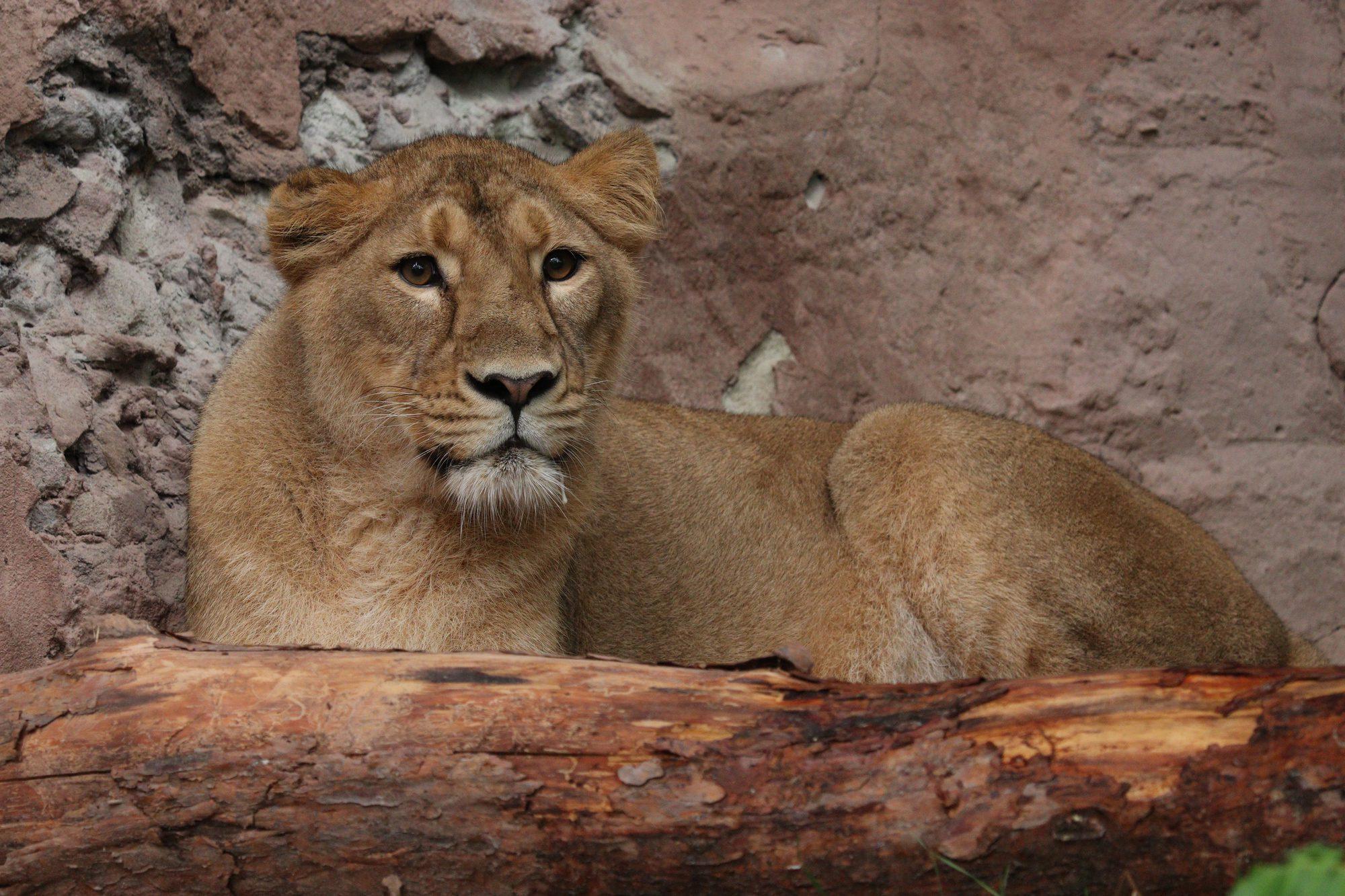 Asiatische Löwin Arany im Tiergarten Nürnberg