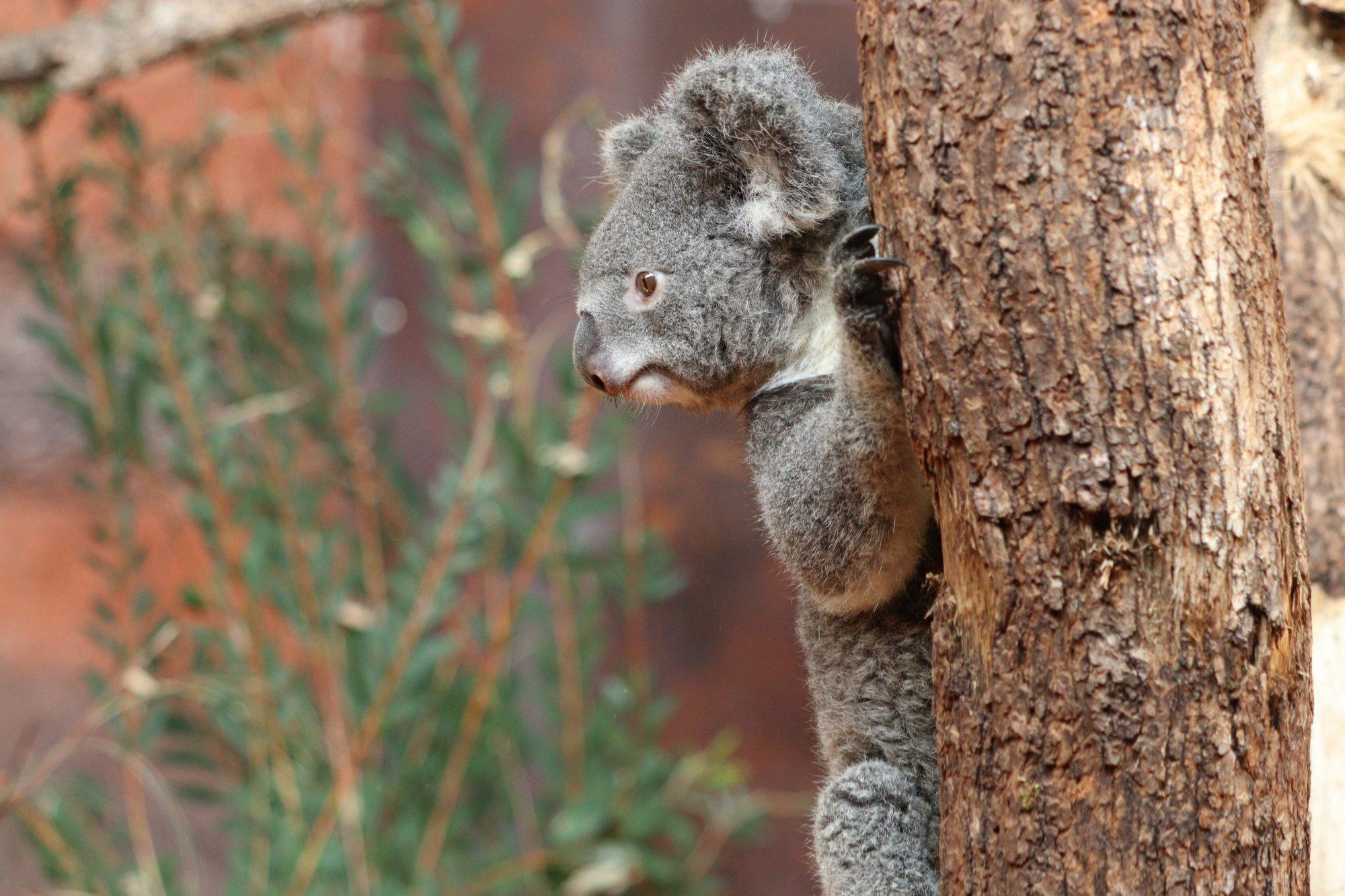 Koala im Zoo Zürich