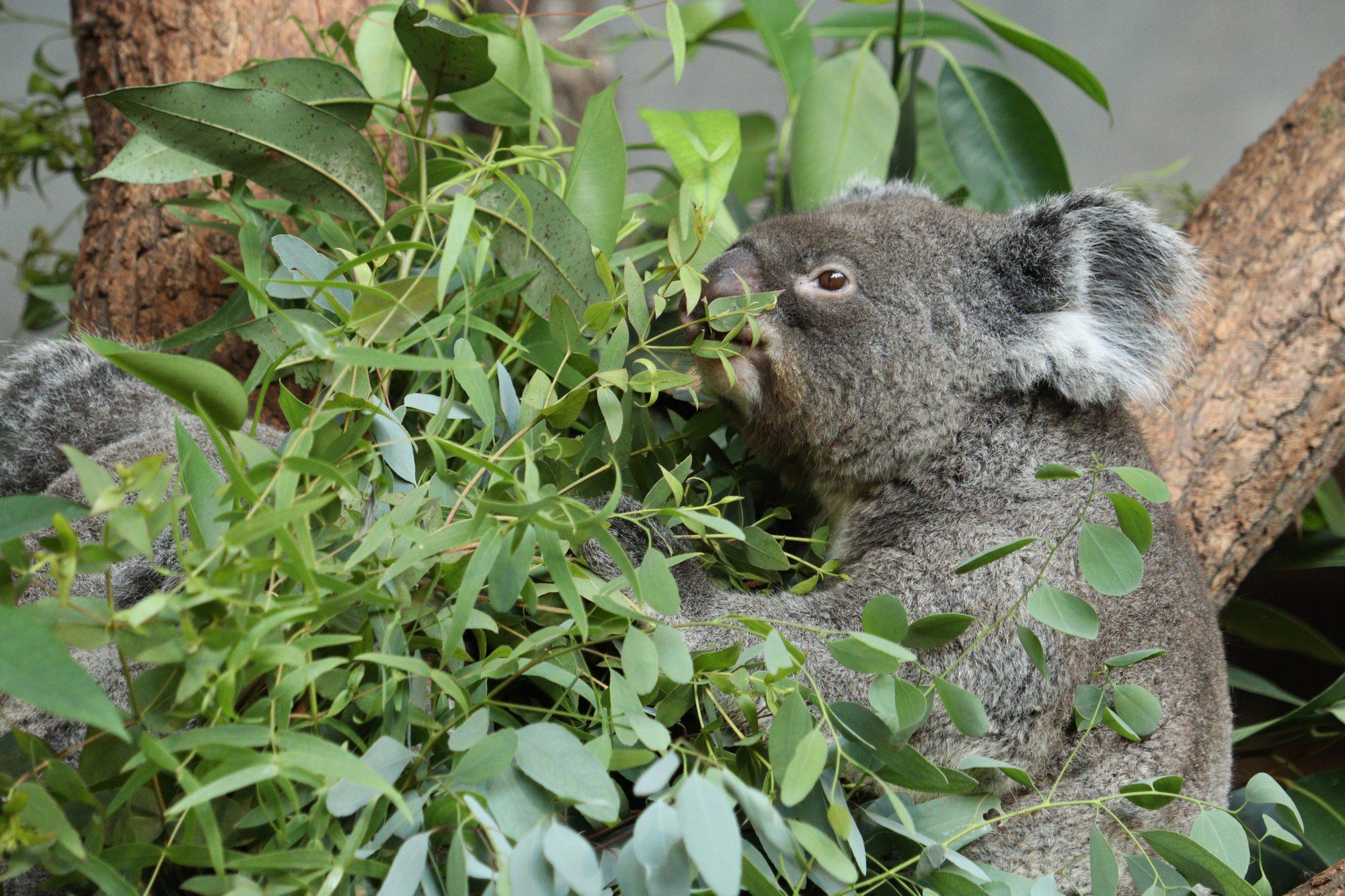 Koalas im Zoo Zürich