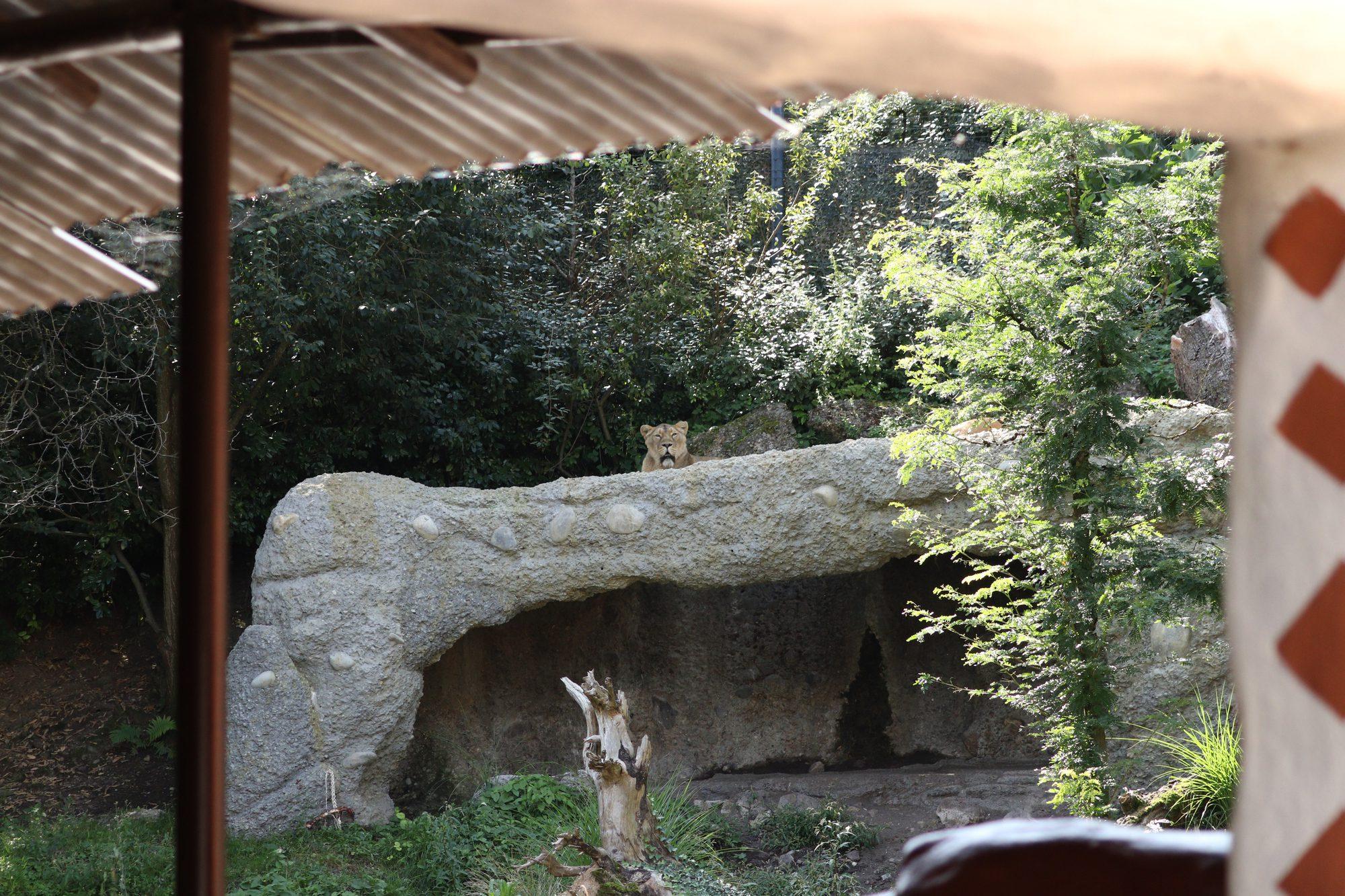 Löwengehege im Zoo Zürich