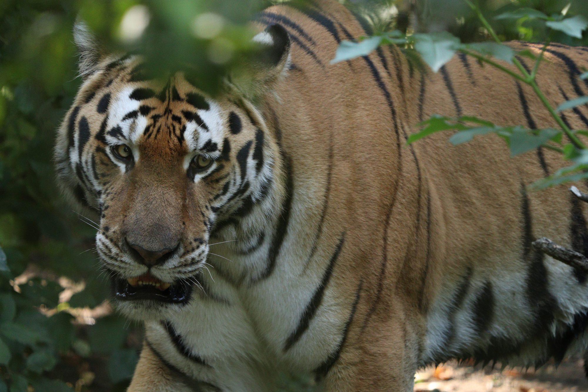 Sibirischer Tiger Sayan im Zoo Zürich