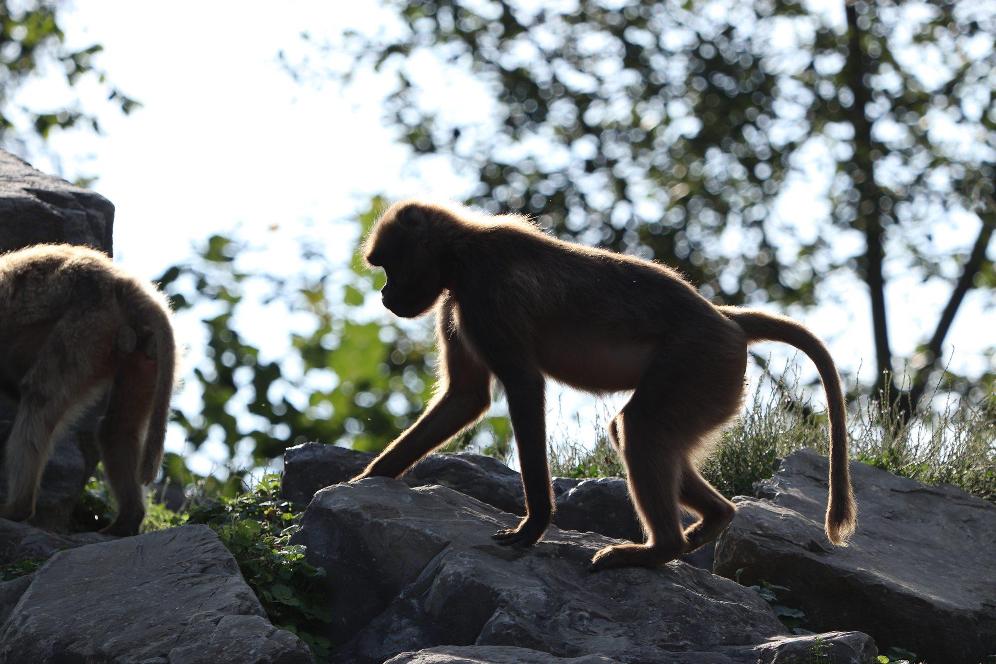 Dschelada im Zoo Zürich