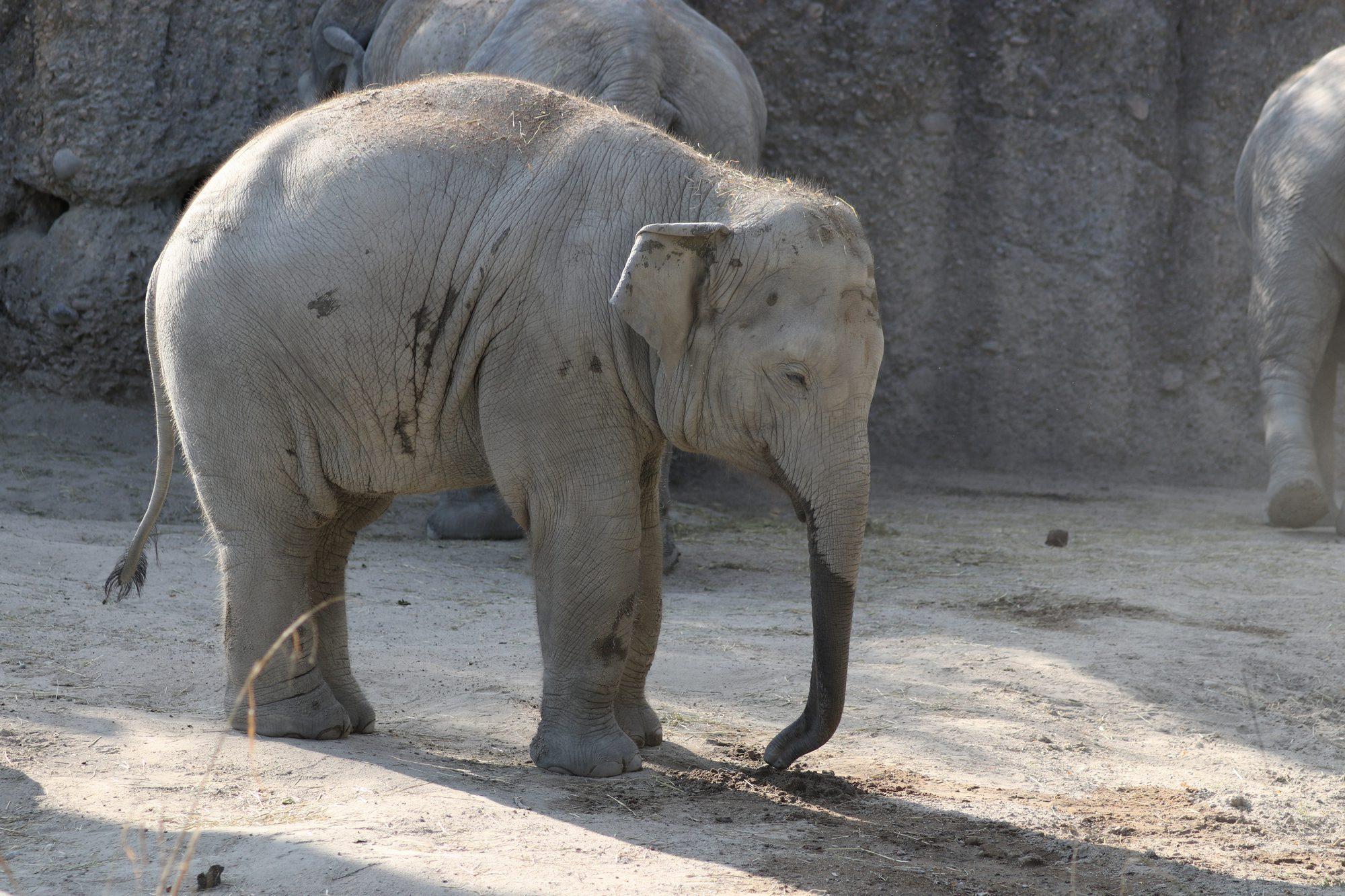 Junger Asiatischer Elefant im Zoo Zürich