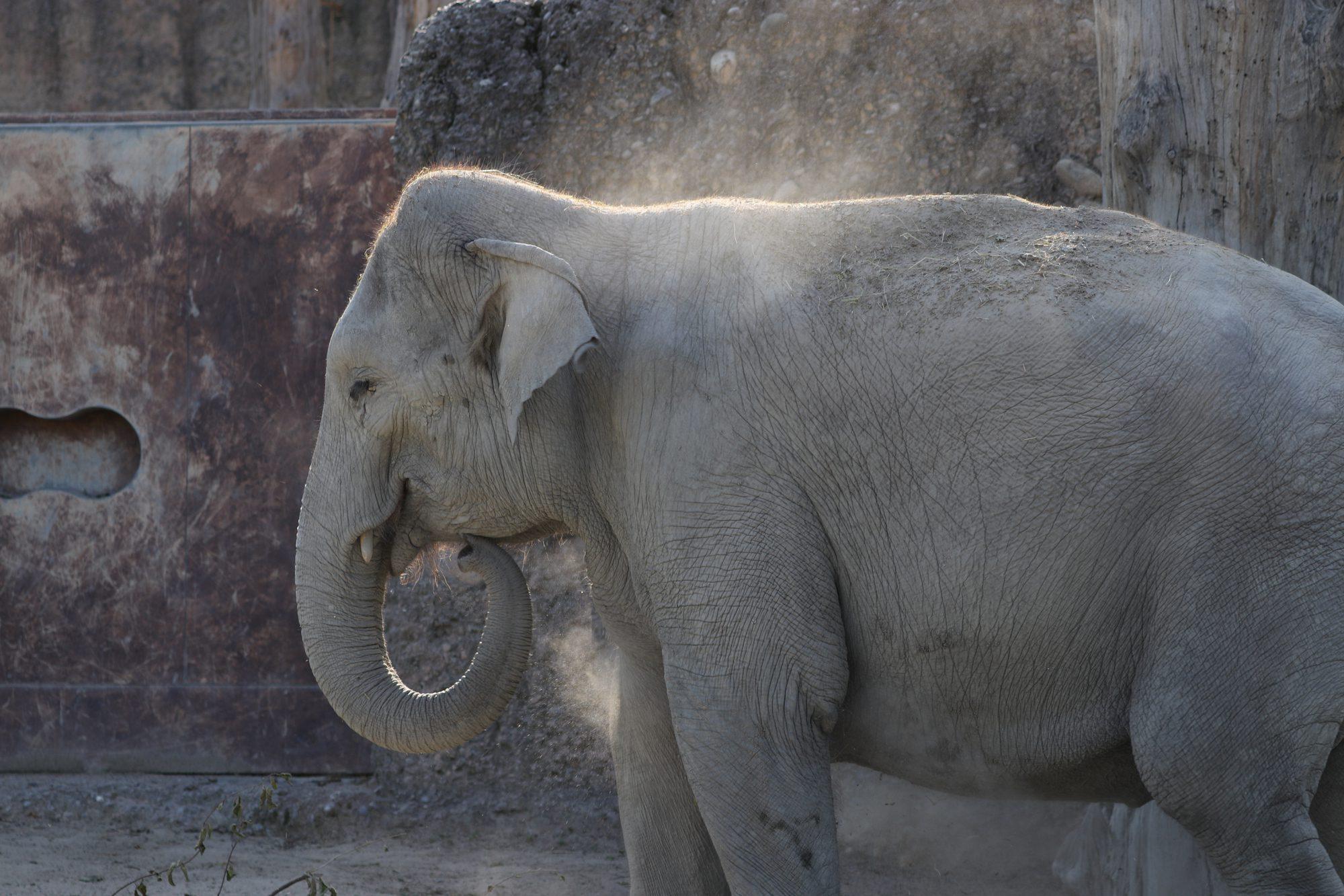 Asiatische Elefantenkuh im Zoo Zürich