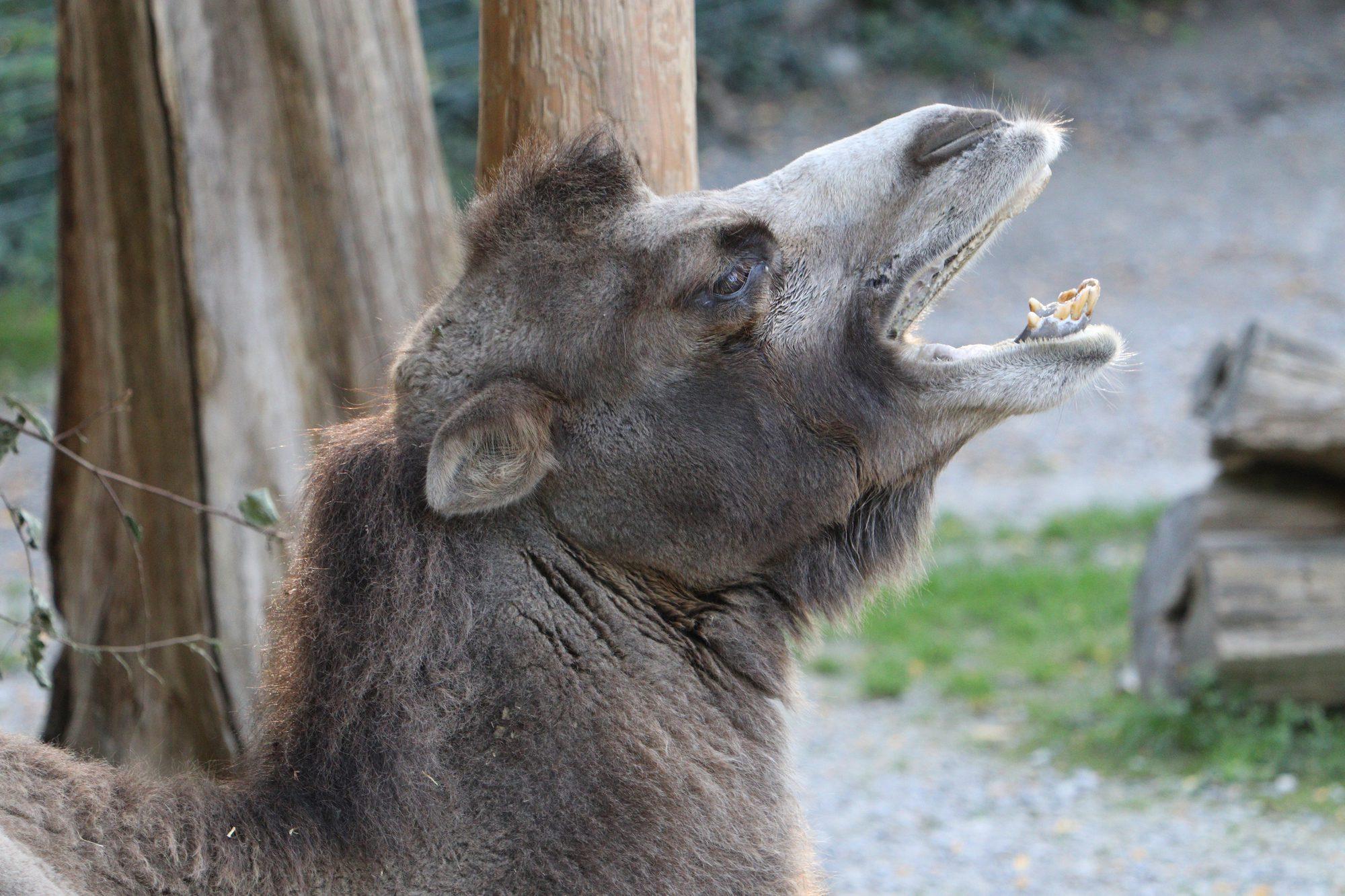 Gähnendes Trampeltier im Zoo Zürich