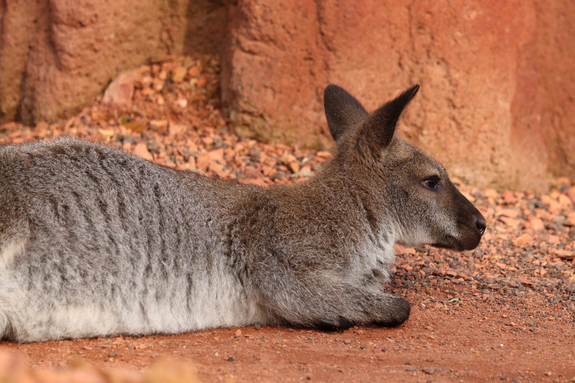 Bennet-Känguru im Zoo Zürich