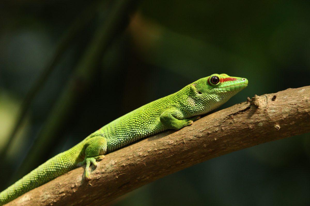 Großer Madagaskar-Taggecko im Masoala-Regenwald im Zoo Zürich