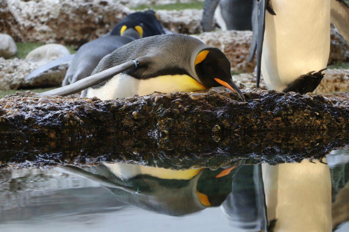 Königspinguin im Zoo Zürich