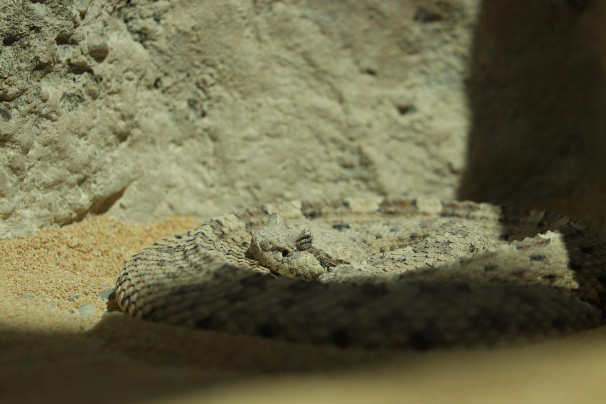 Seitenwinder-Klapperschlange im Zoo Zürich