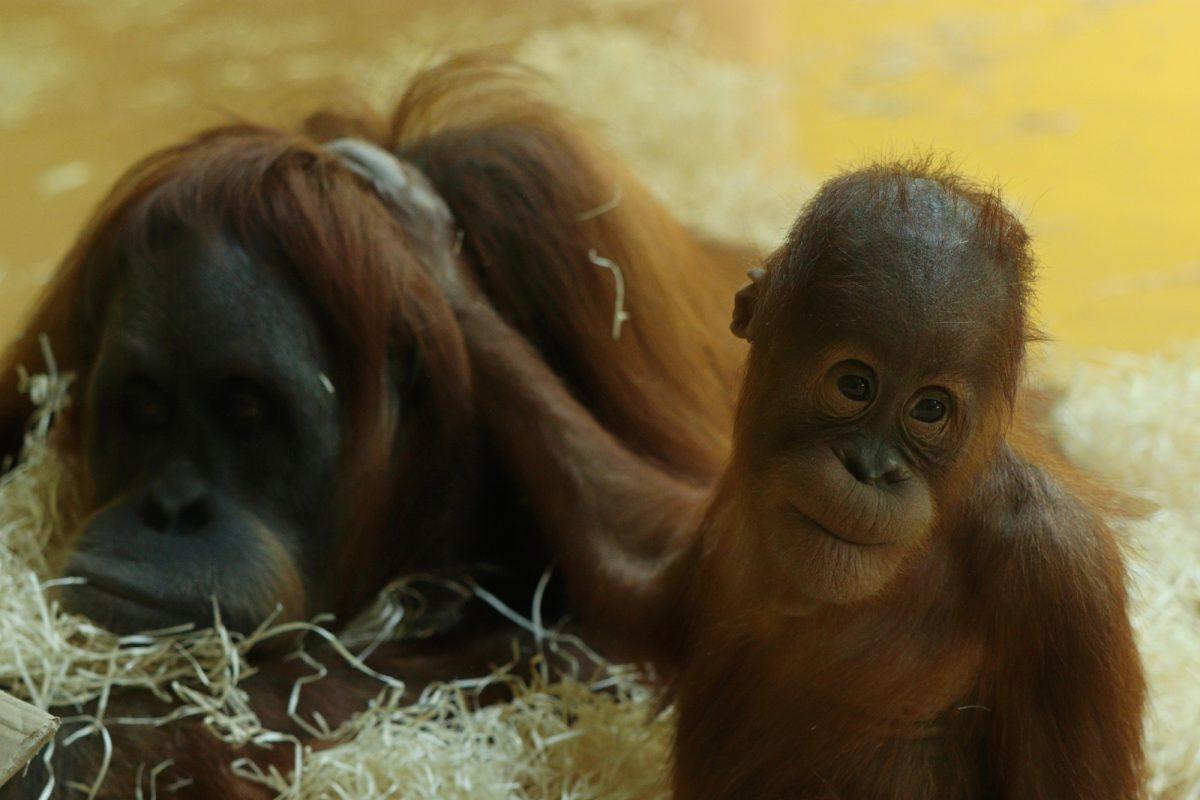 Sumatra Orang-Utans im Tierpark Hellabrunn