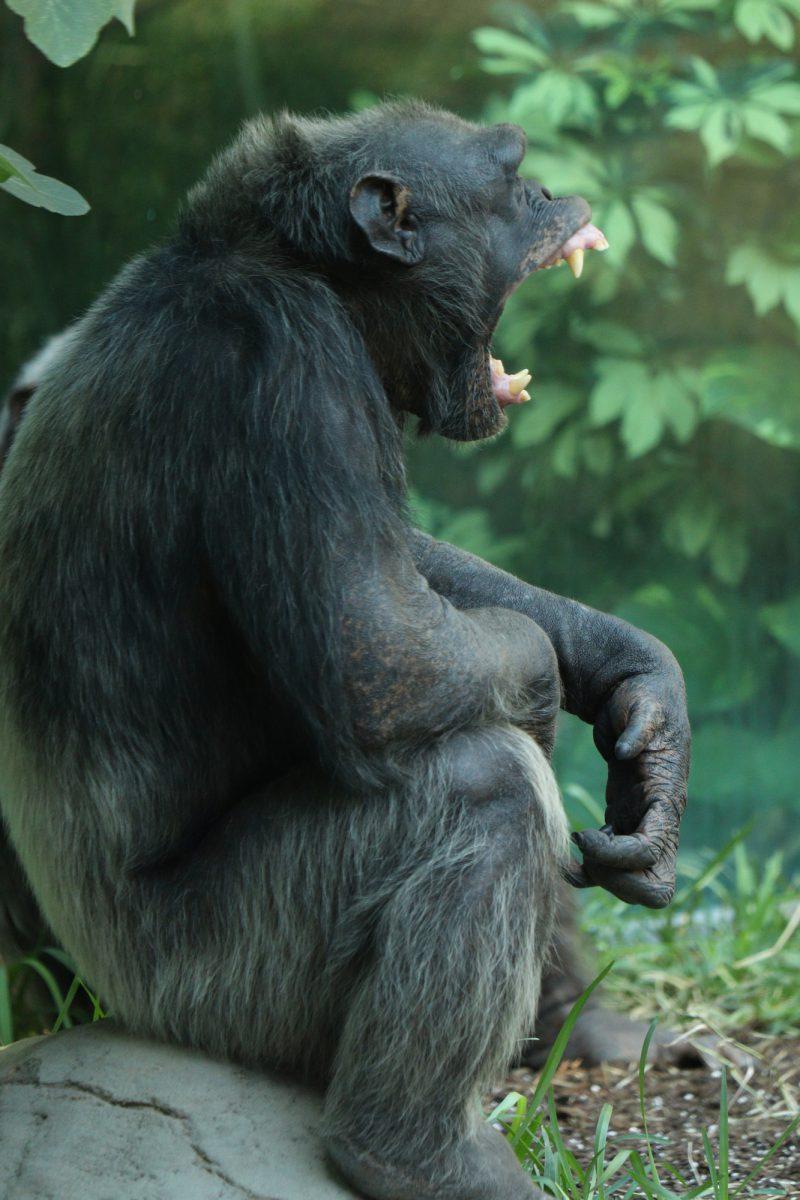 Gähnender Schimpanse im Tierpark Hellabrunn